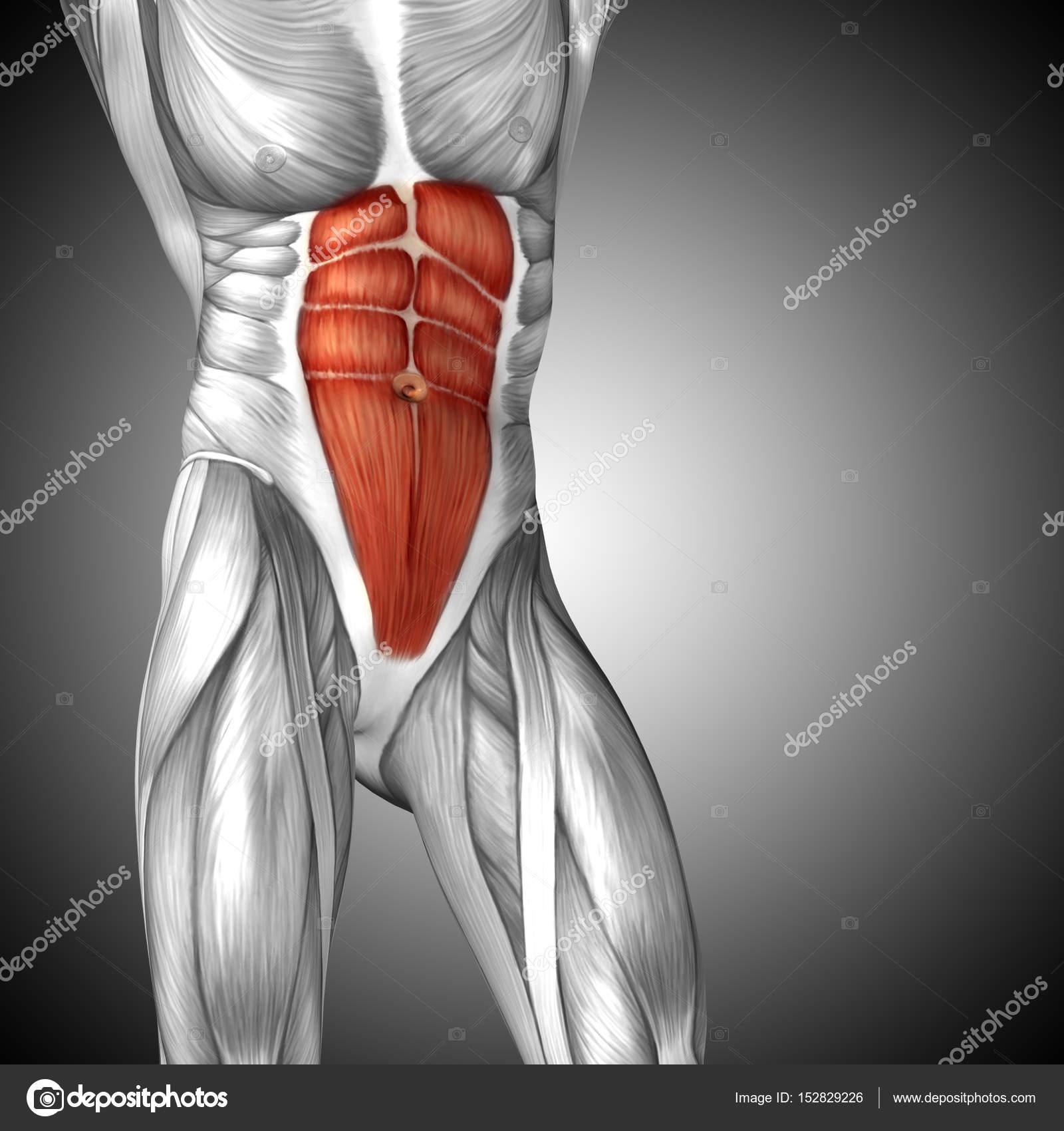 Anatomie der menschlichen Brust — Stockfoto © design36 #152829226