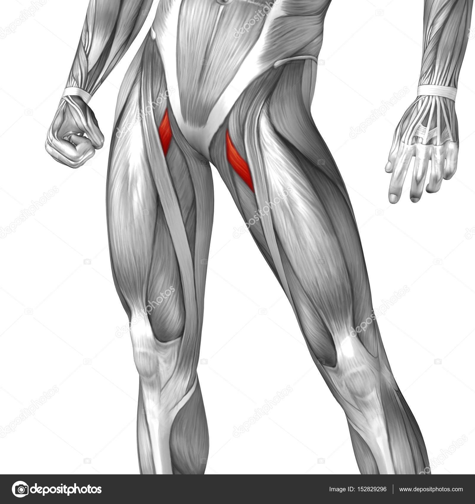 menschliche Oberschenkel-Anatomie — Stockfoto © design36 #152829296