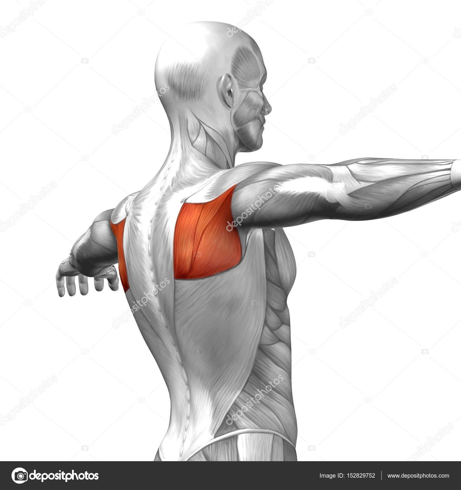Anatomie des Menschen zurück — Stockfoto © design36 #152829752