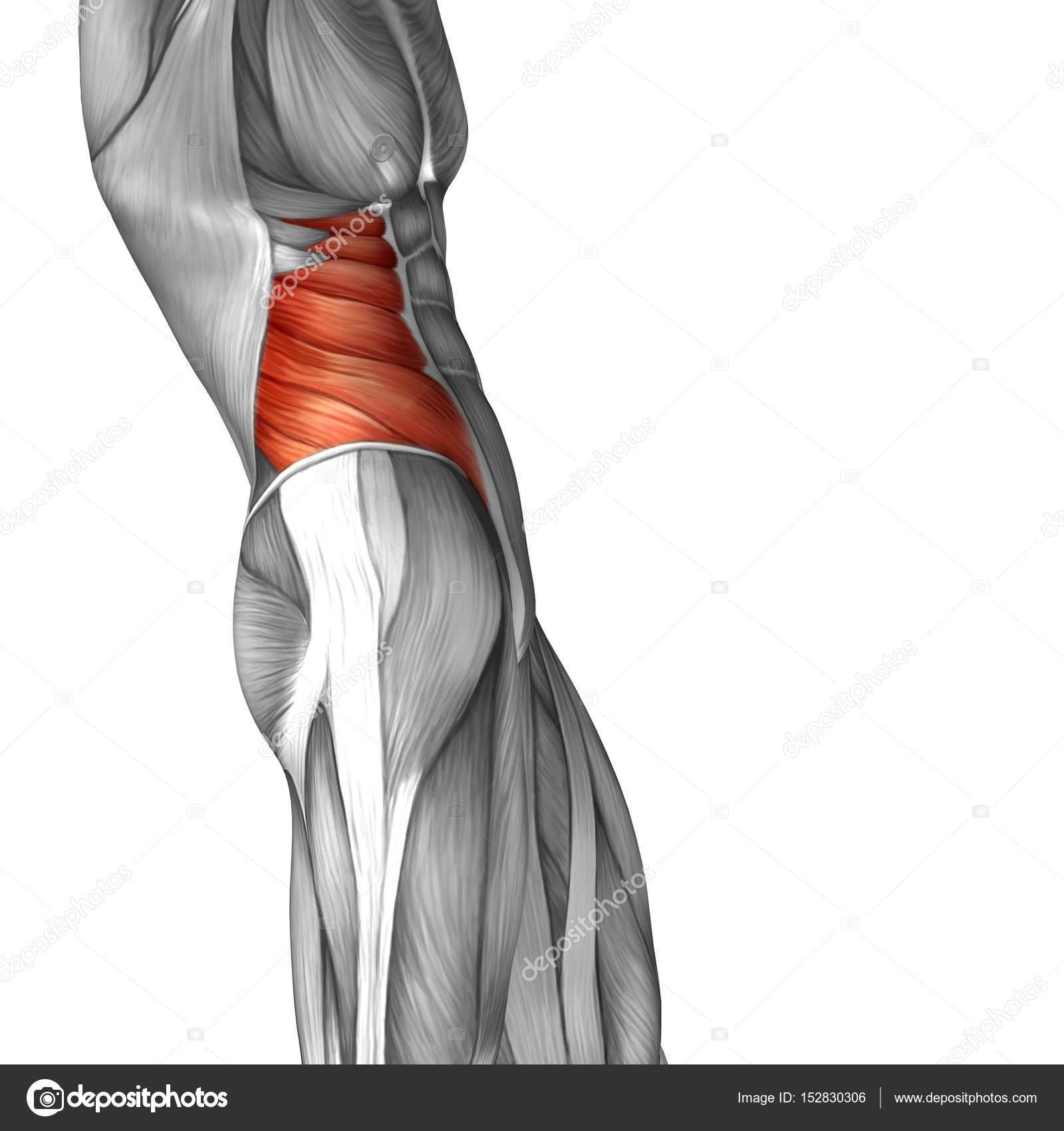 menschliche Bauchfell Anatomie — Stockfoto © design36 #152830306