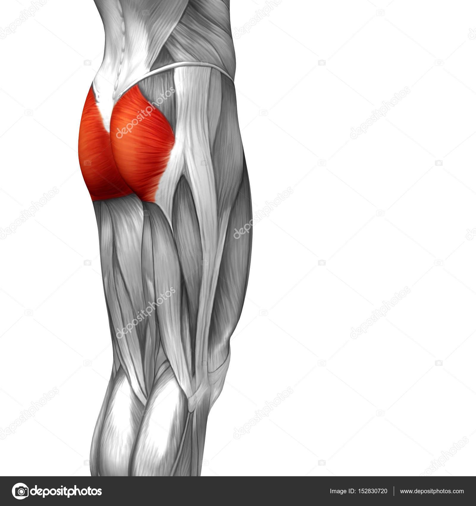 Human Upper Legs Anatomy Stock Photo Design36 152830720