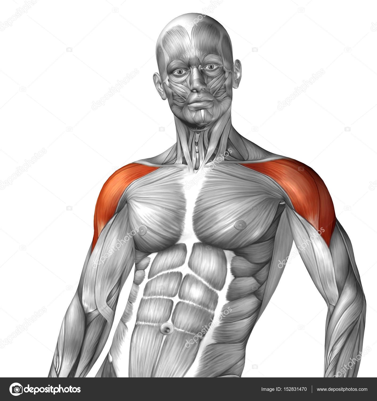 Anatomie der menschlichen Brust — Stockfoto © design36 #152831470
