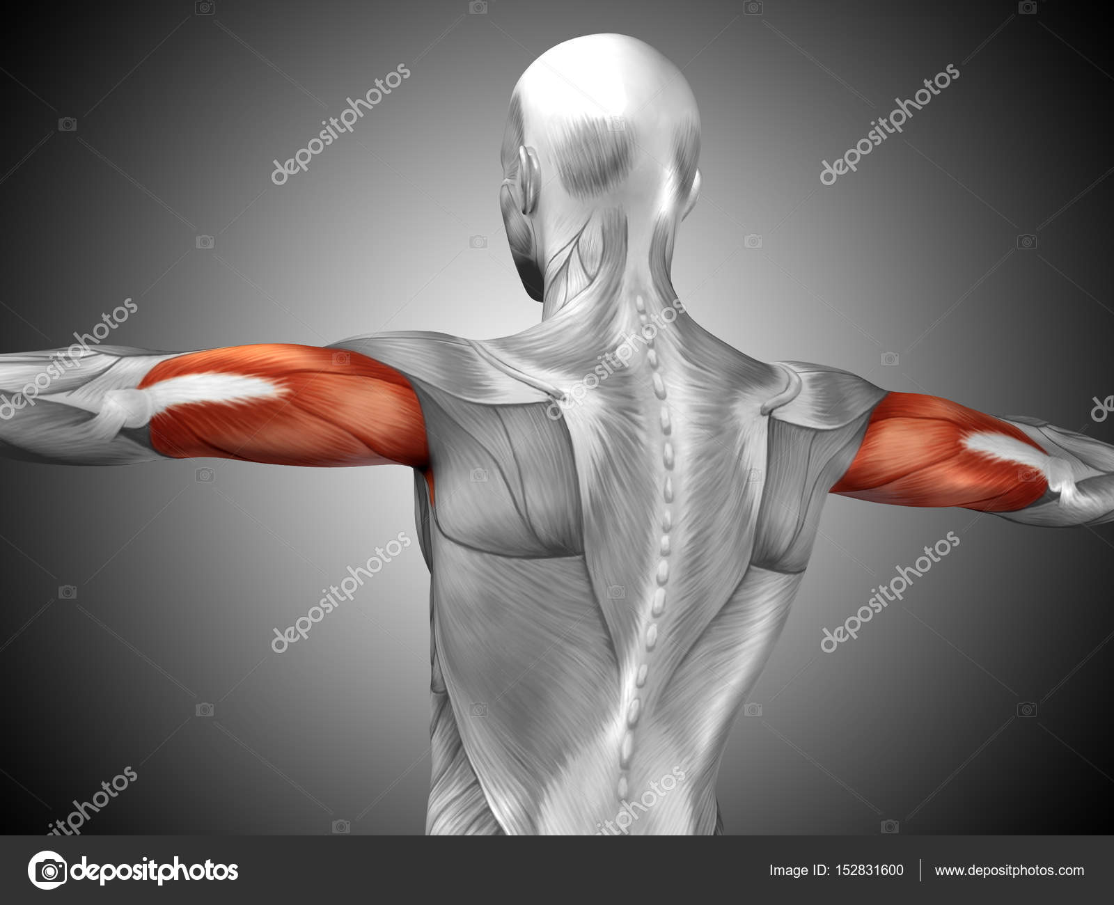 human triceps muscles anatomy — Stock Photo © design36 #152831600