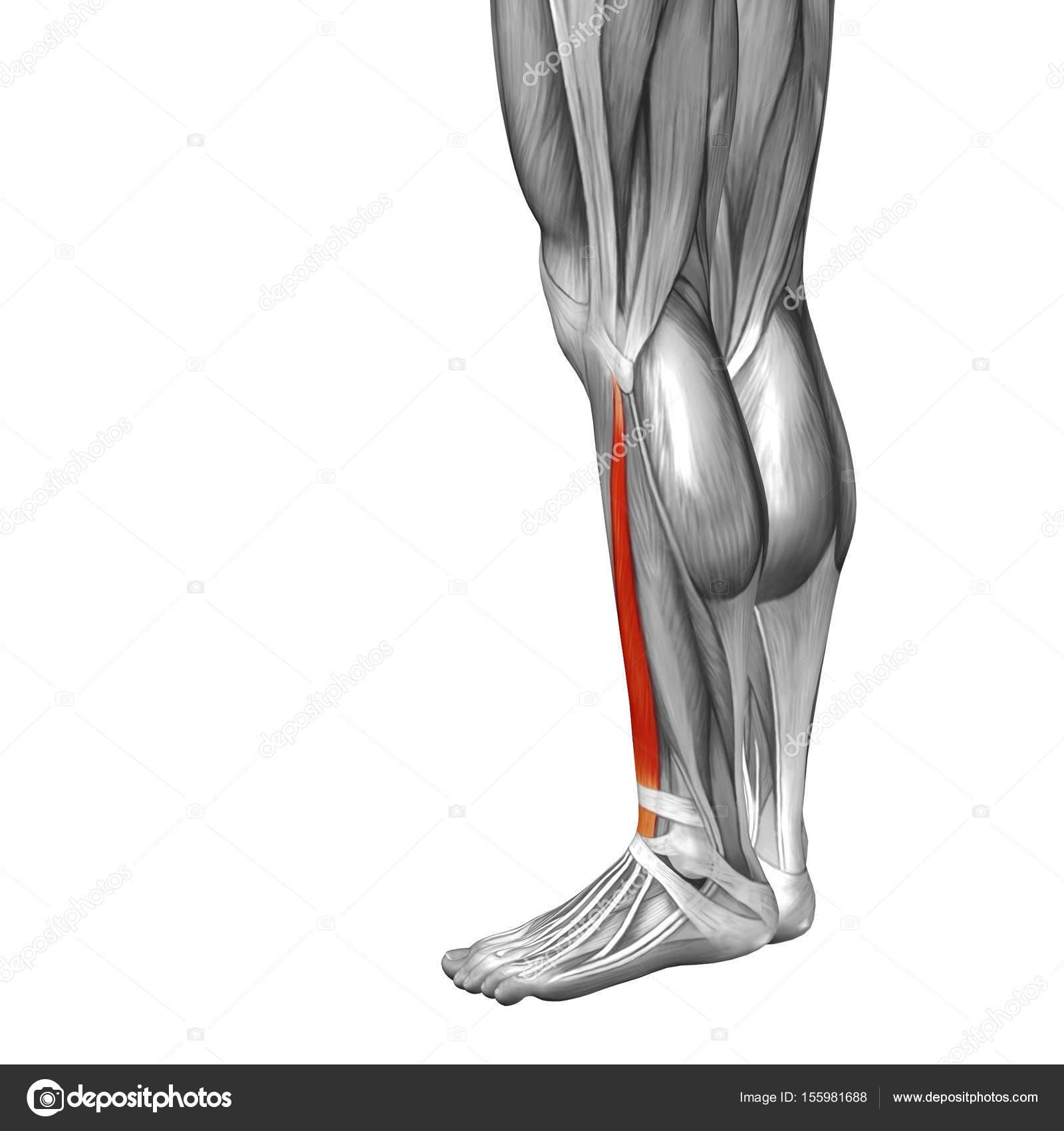 menschliche Anatomie oder anatomische und Muskel — Stockfoto ...