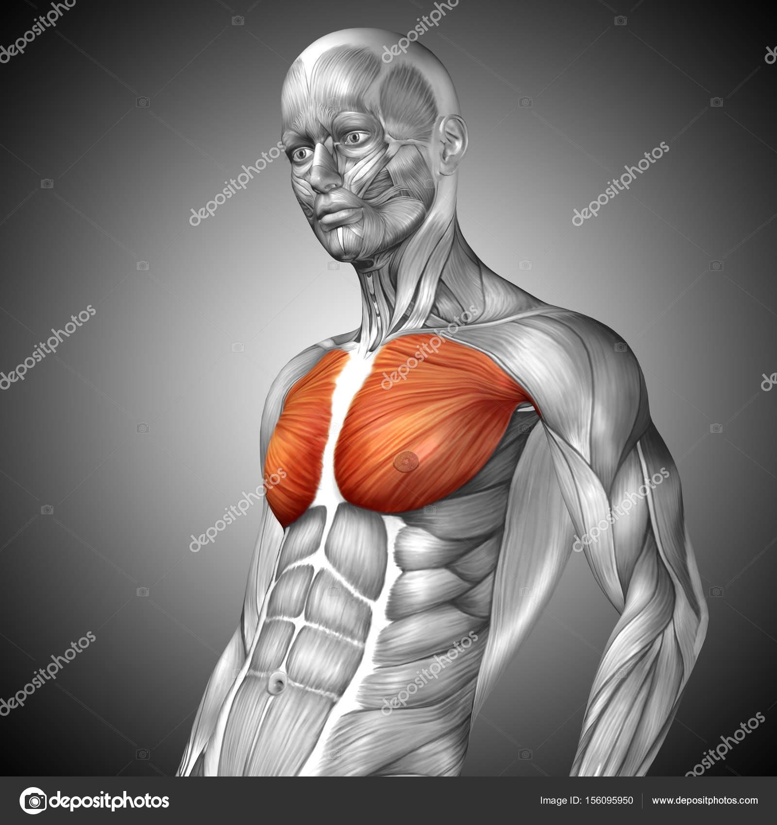 Anatomie der menschlichen Brust — Stockfoto © design36 #156095950