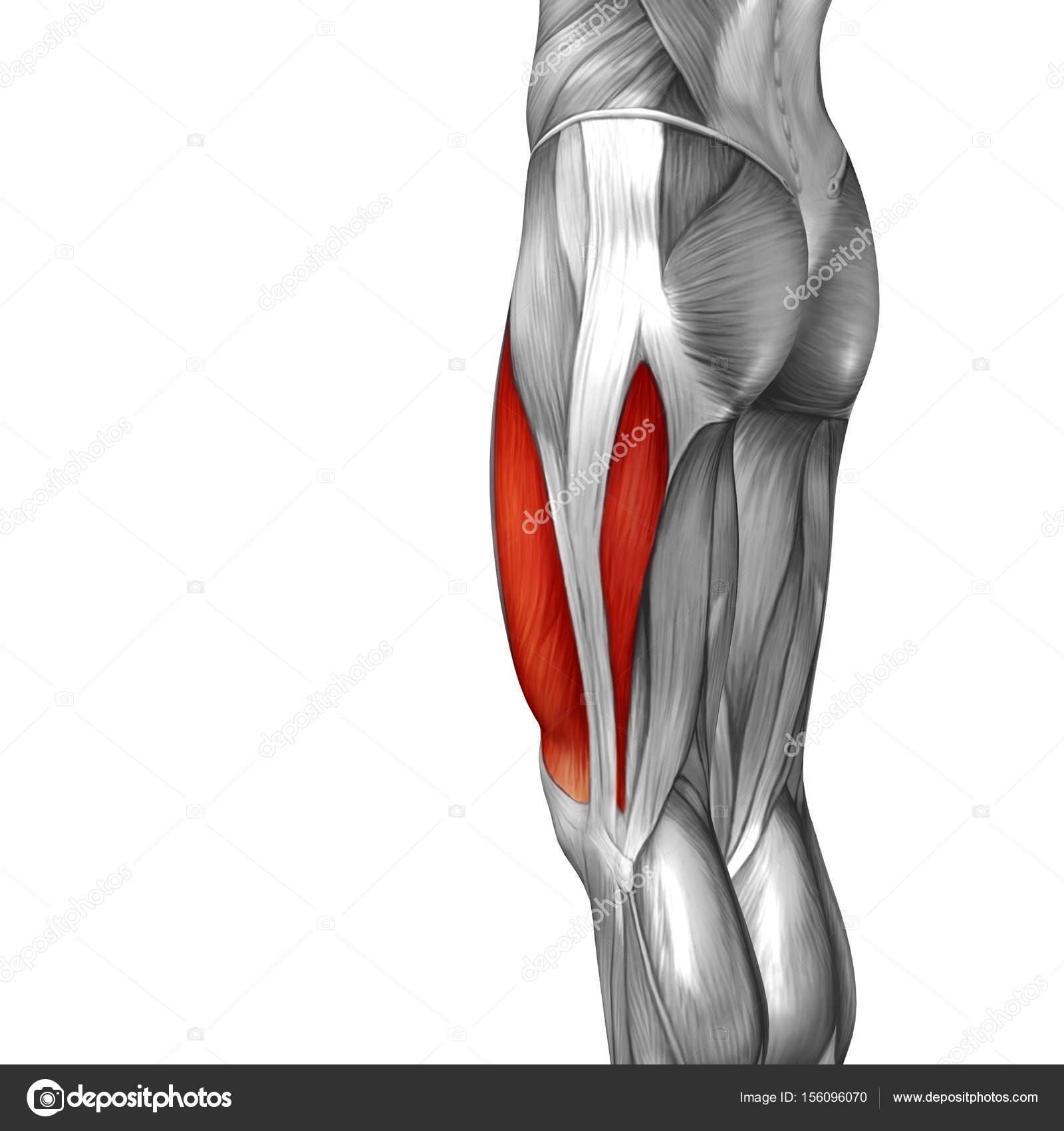 menschliche Oberschenkel-Anatomie — Stockfoto © design36 #156096070