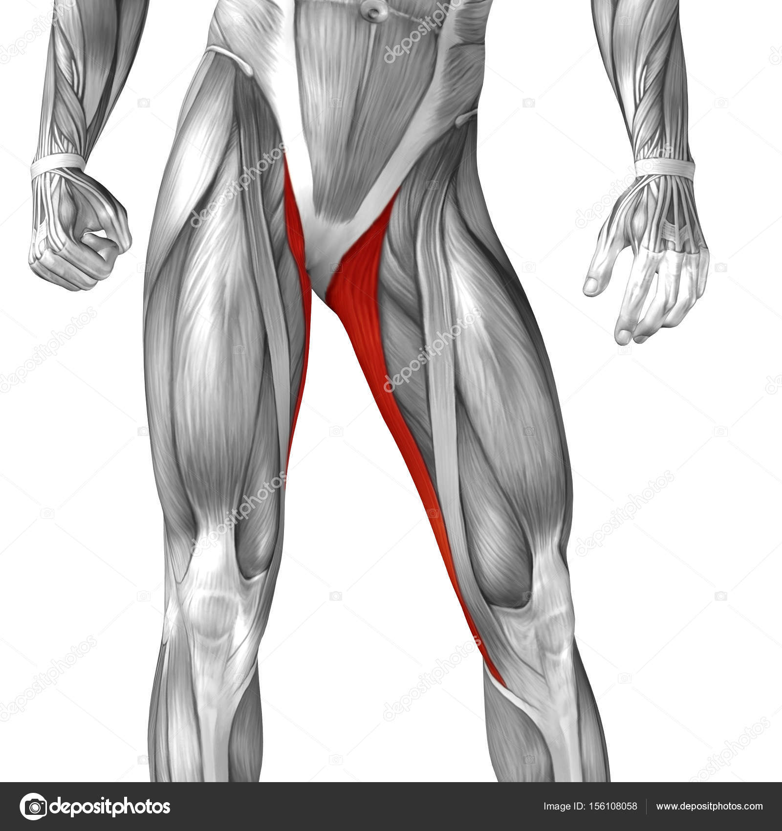 menschliche Oberschenkel-Anatomie — Stockfoto © design36 #156108058