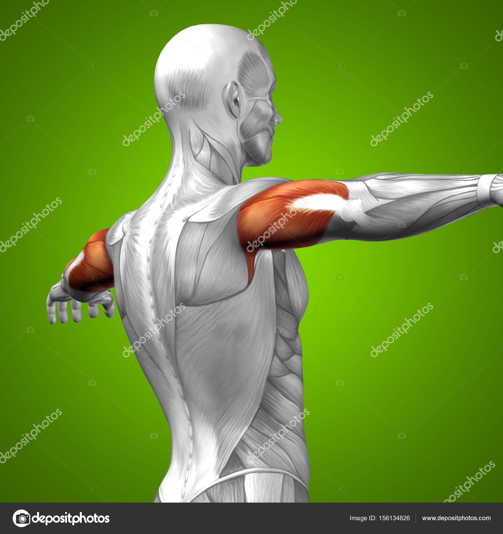 Anatomie der menschlichen Trizeps — Stockfoto © design36 #156134826