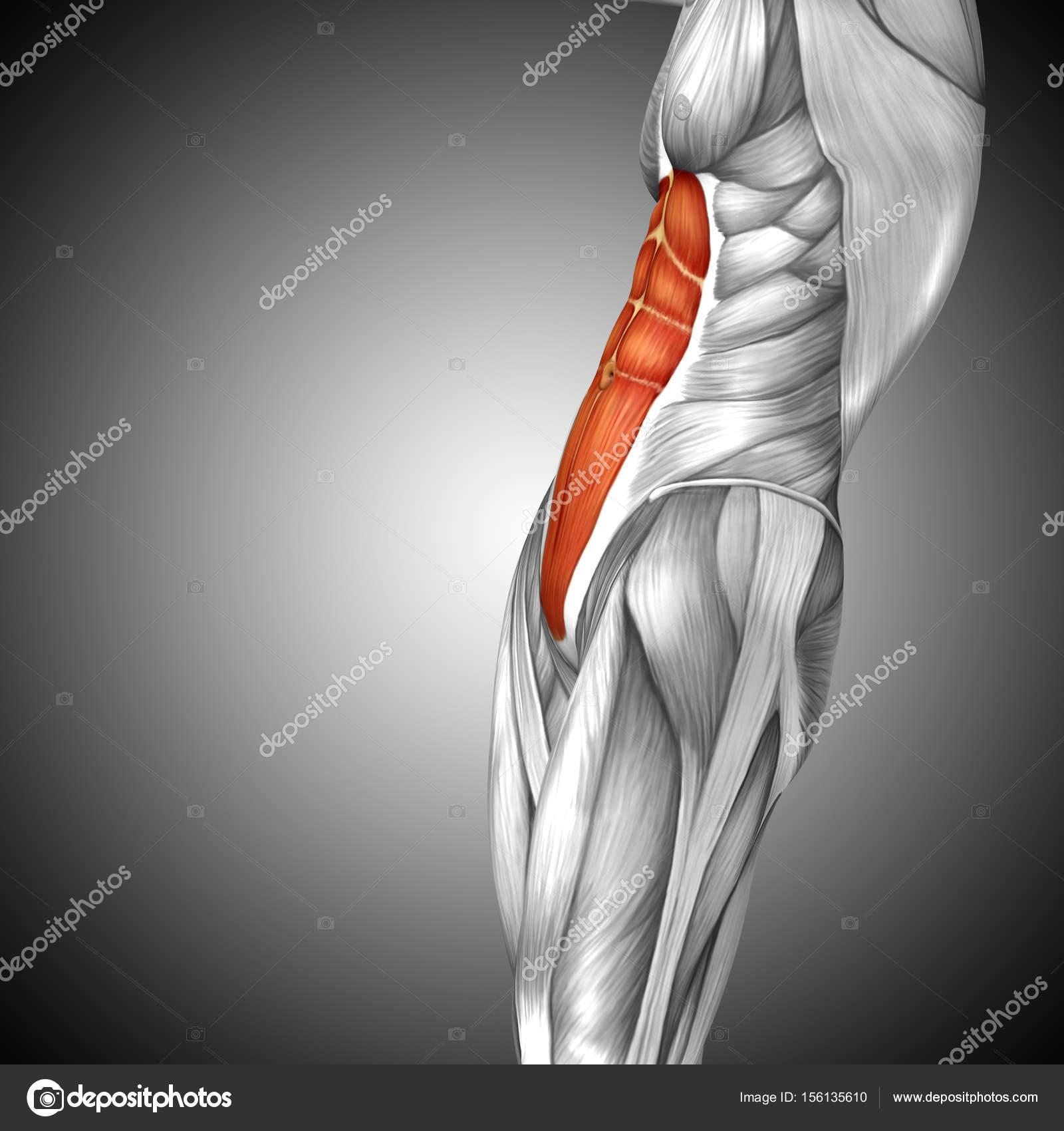 Anatomie der menschlichen Brust — Stockfoto © design36 #156135610