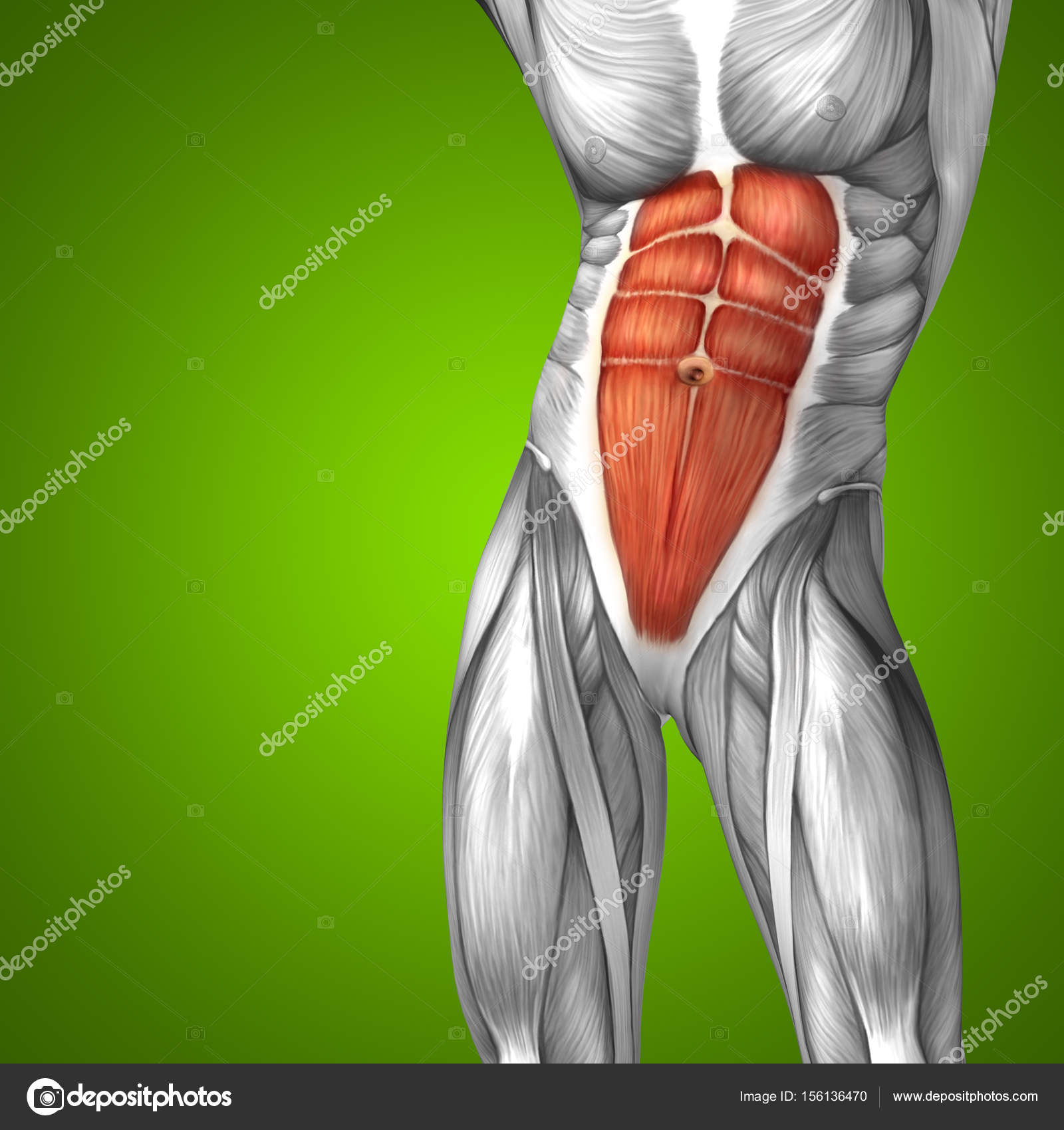 Human Chest Anatomy Stock Photo Design36 156136470