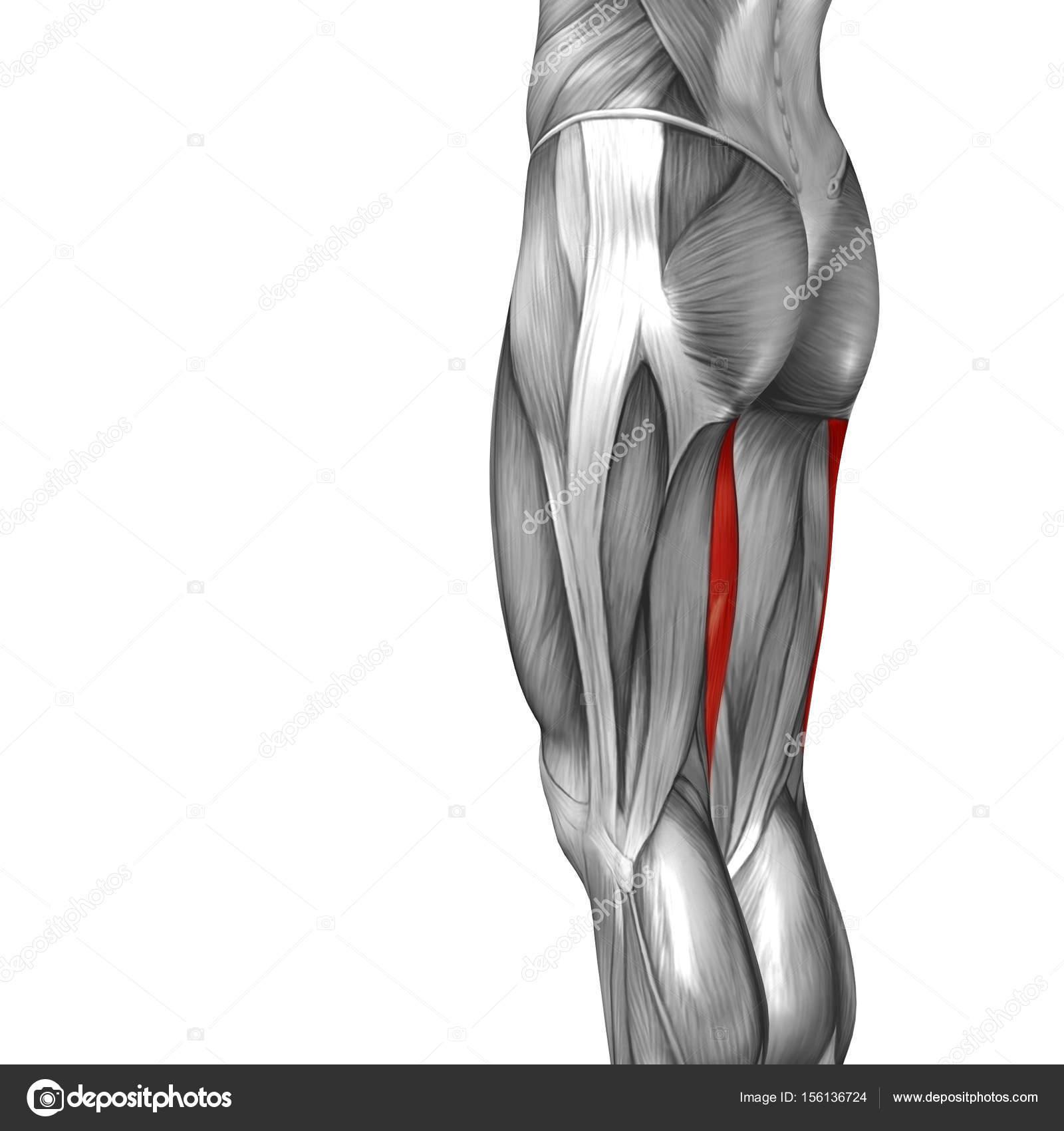 menschliche Oberschenkel-Anatomie — Stockfoto © design36 #156136724