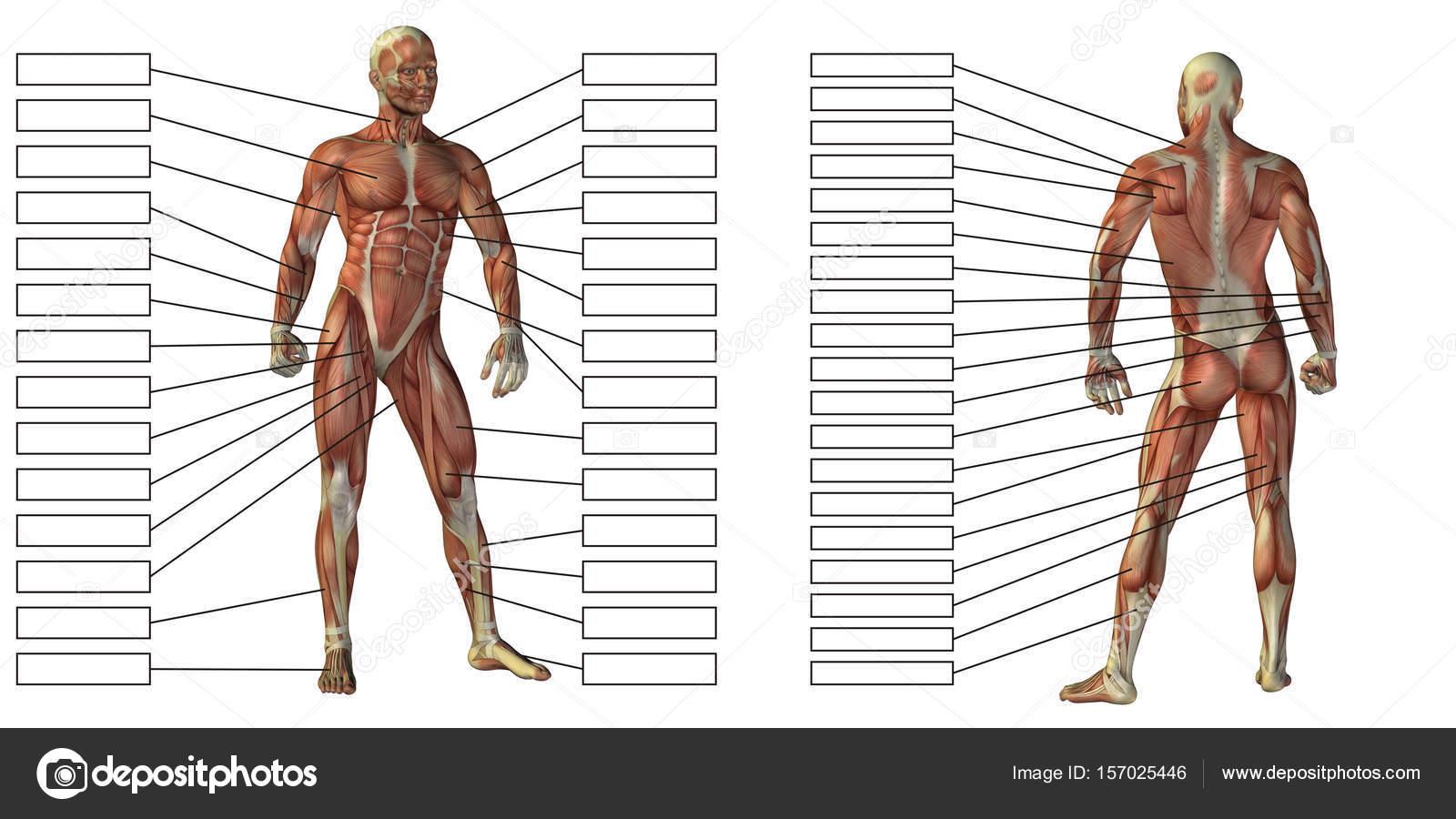 menschliche Anatomie Modell — Stockfoto © design36 #157025446