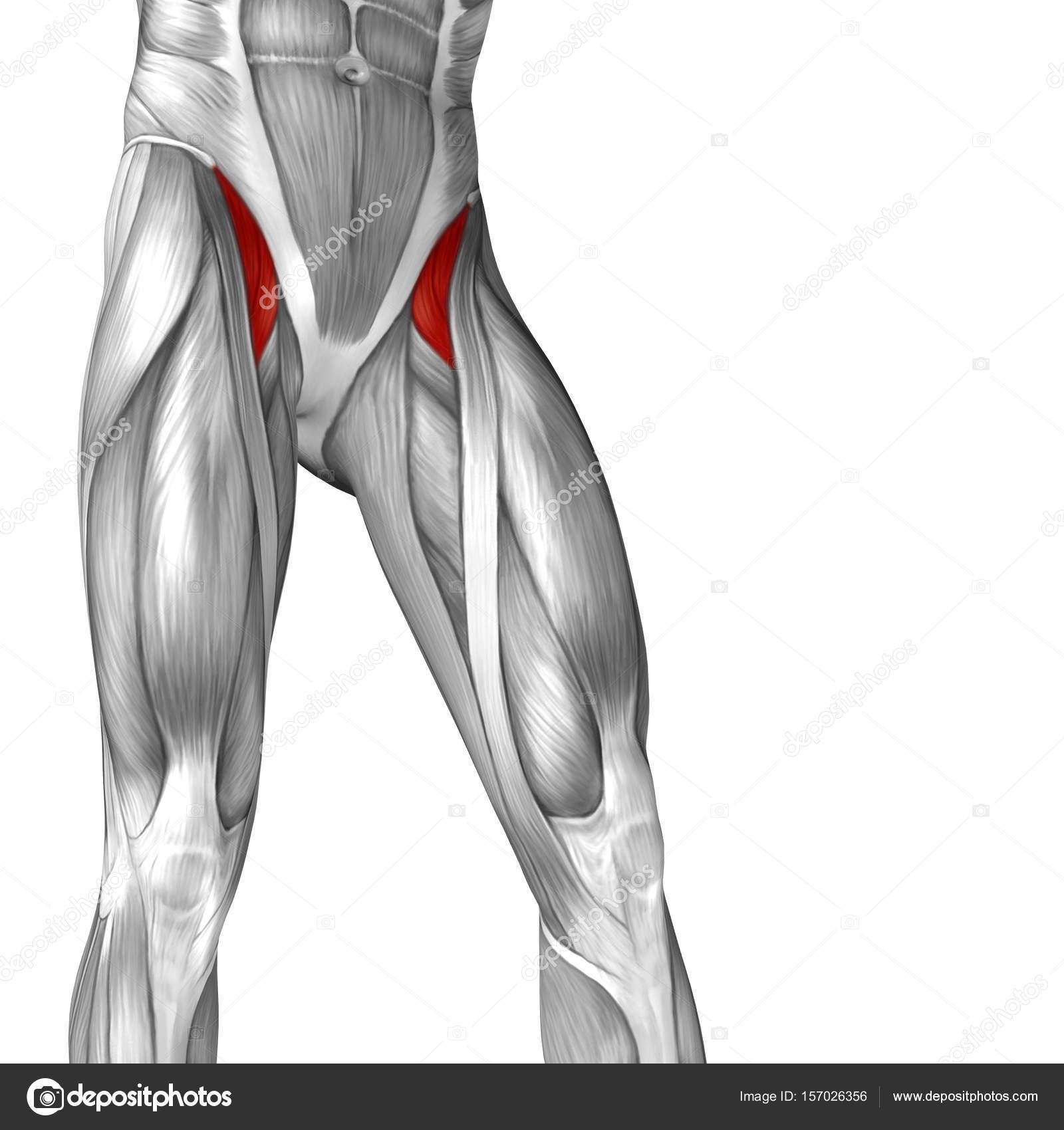 menschliche Oberschenkel-Anatomie — Stockfoto © design36 #157026356