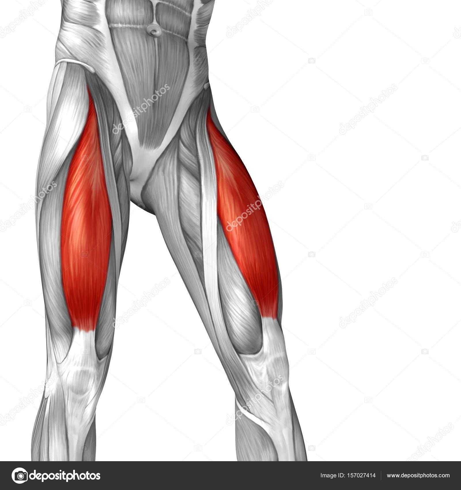 anatomía humana piernas superiores — Foto de stock © design36 #157027414