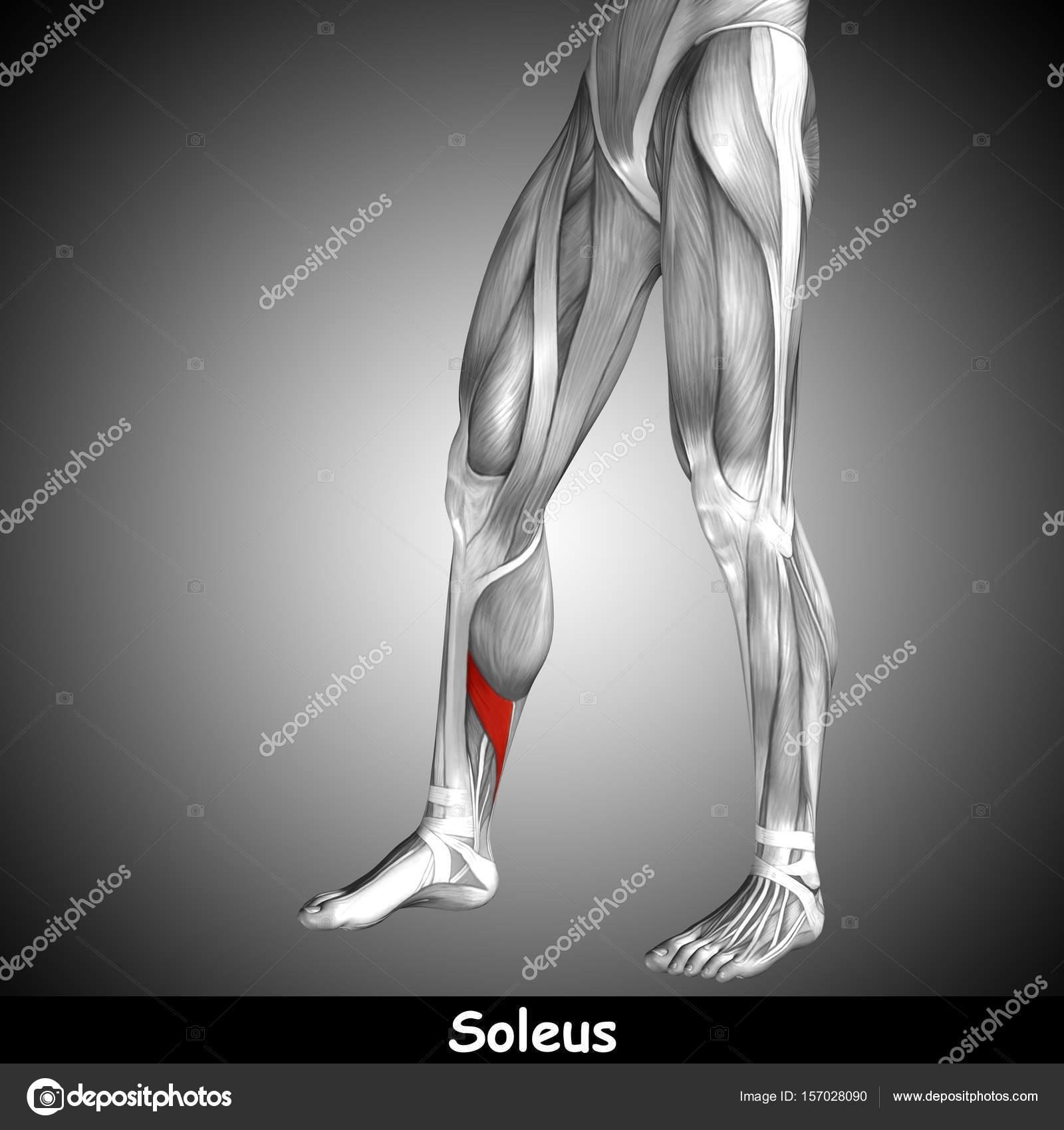 Wunderbar Arterien Des Beines Anatomie Zeitgenössisch - Menschliche ...