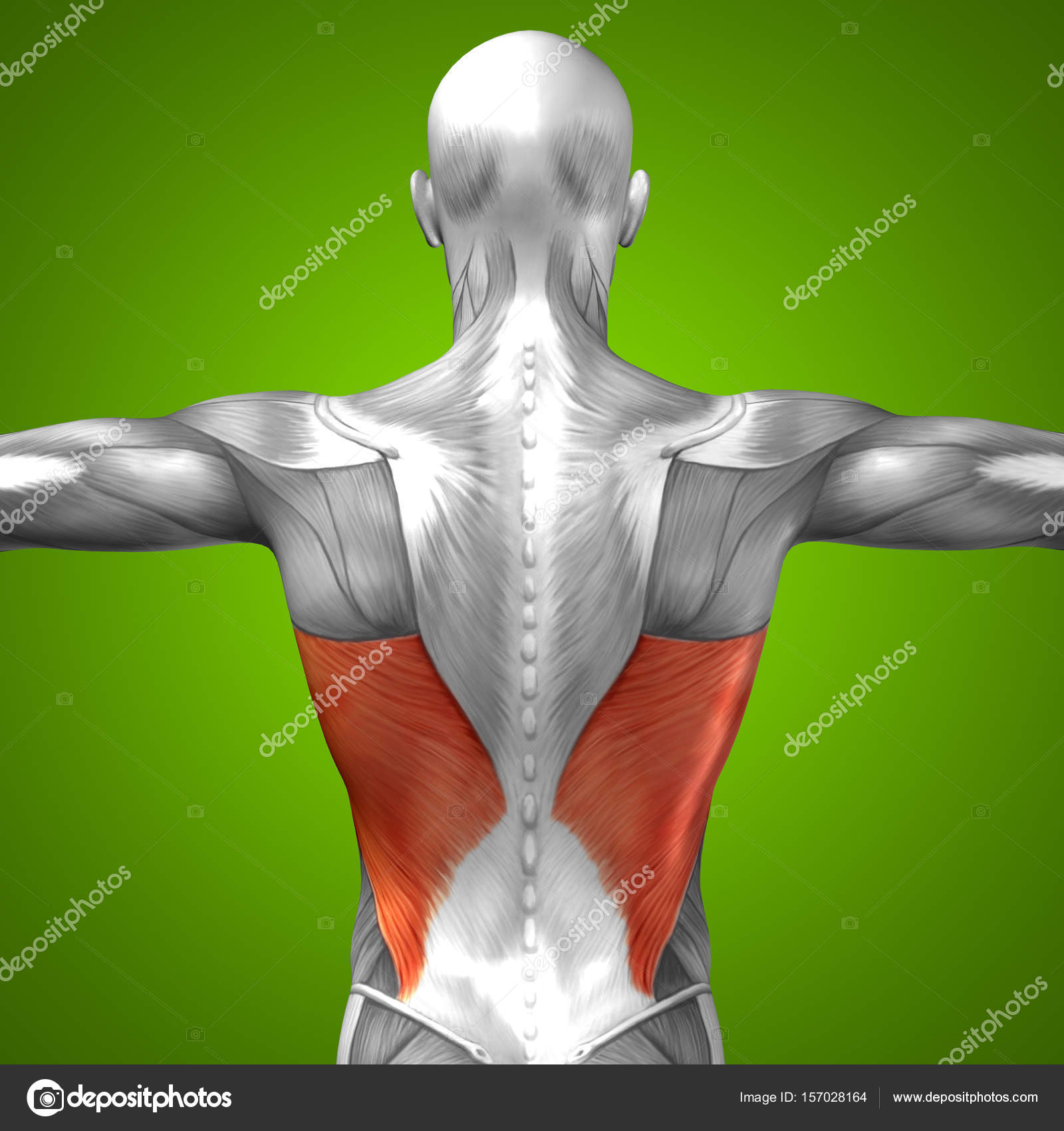 Anatomía de la espalda — Fotos de Stock © design36 #157028164