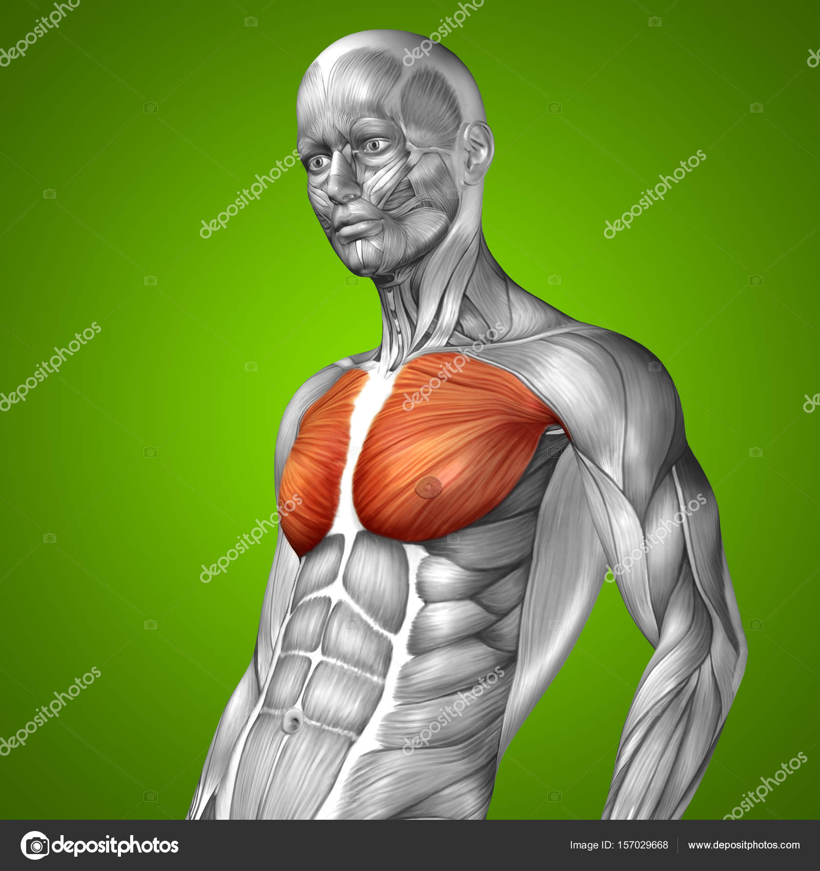 anatomía humana o anatómica — Foto de stock © design36 #157029668