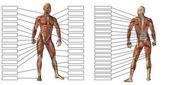 Anatomie-Attrappe