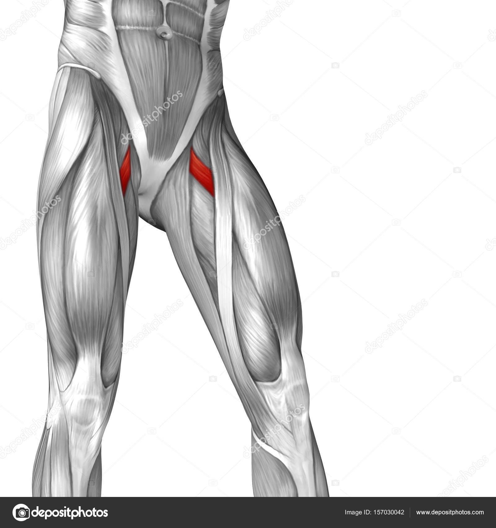 Human Upper Legs Anatomy Stock Photo Design36 157030042