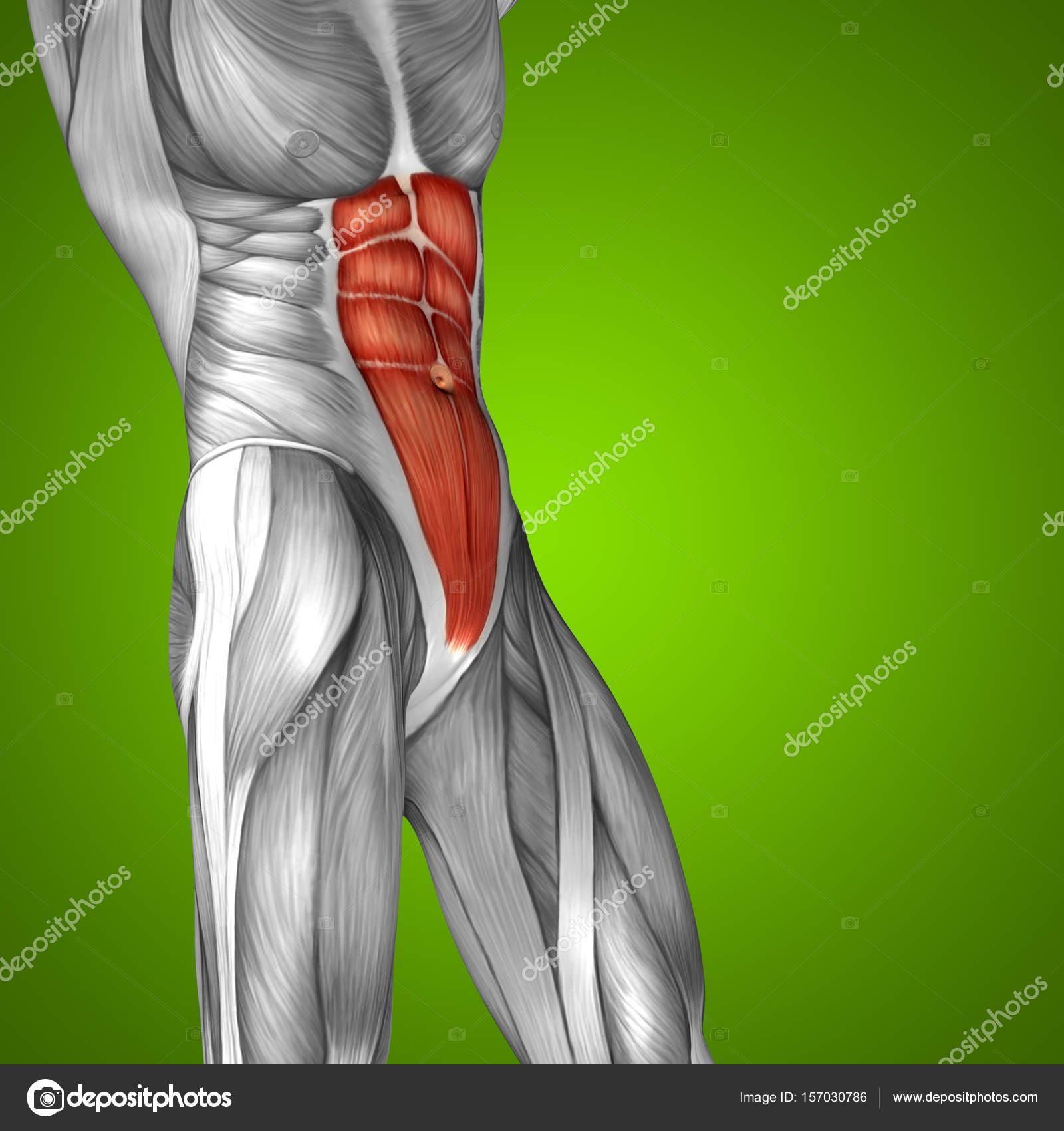 menschliche Anatomie oder anatomischen — Stockfoto © design36 #157030786
