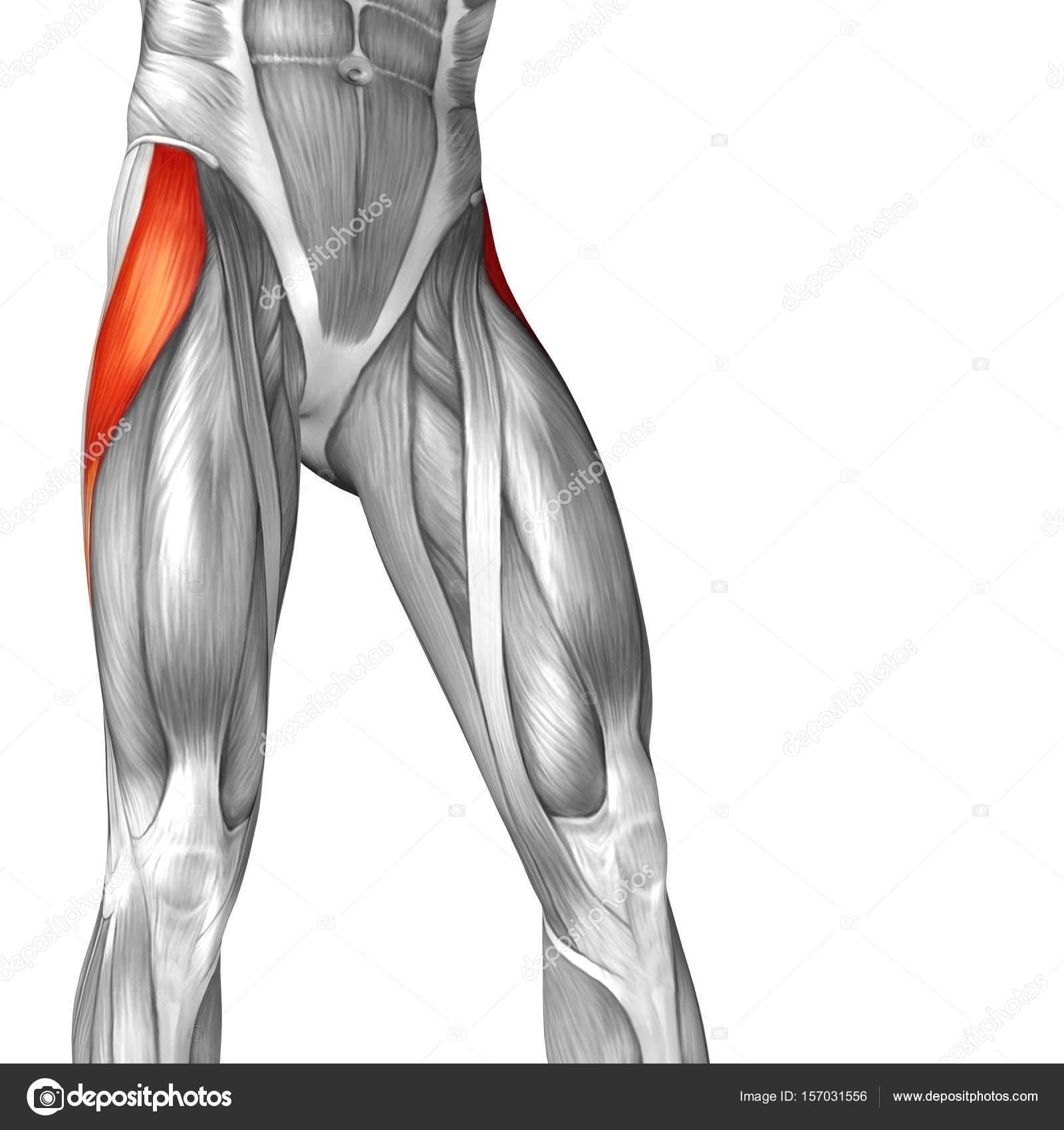 menschliche Oberschenkel-Anatomie — Stockfoto © design36 #157031556