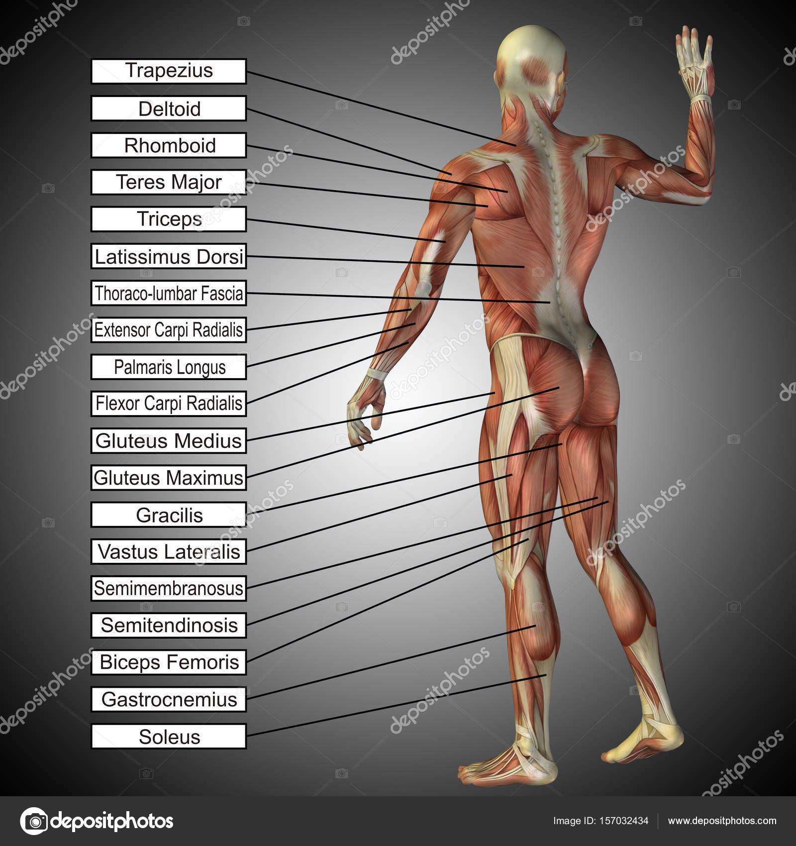 menschliche Anatomie Modell — Stockfoto © design36 #157032434