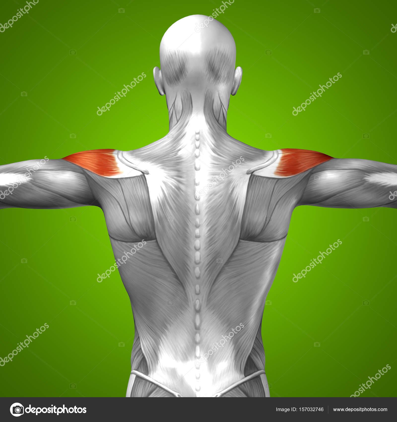 Anatomía de la espalda — Foto de stock © design36 #157032746