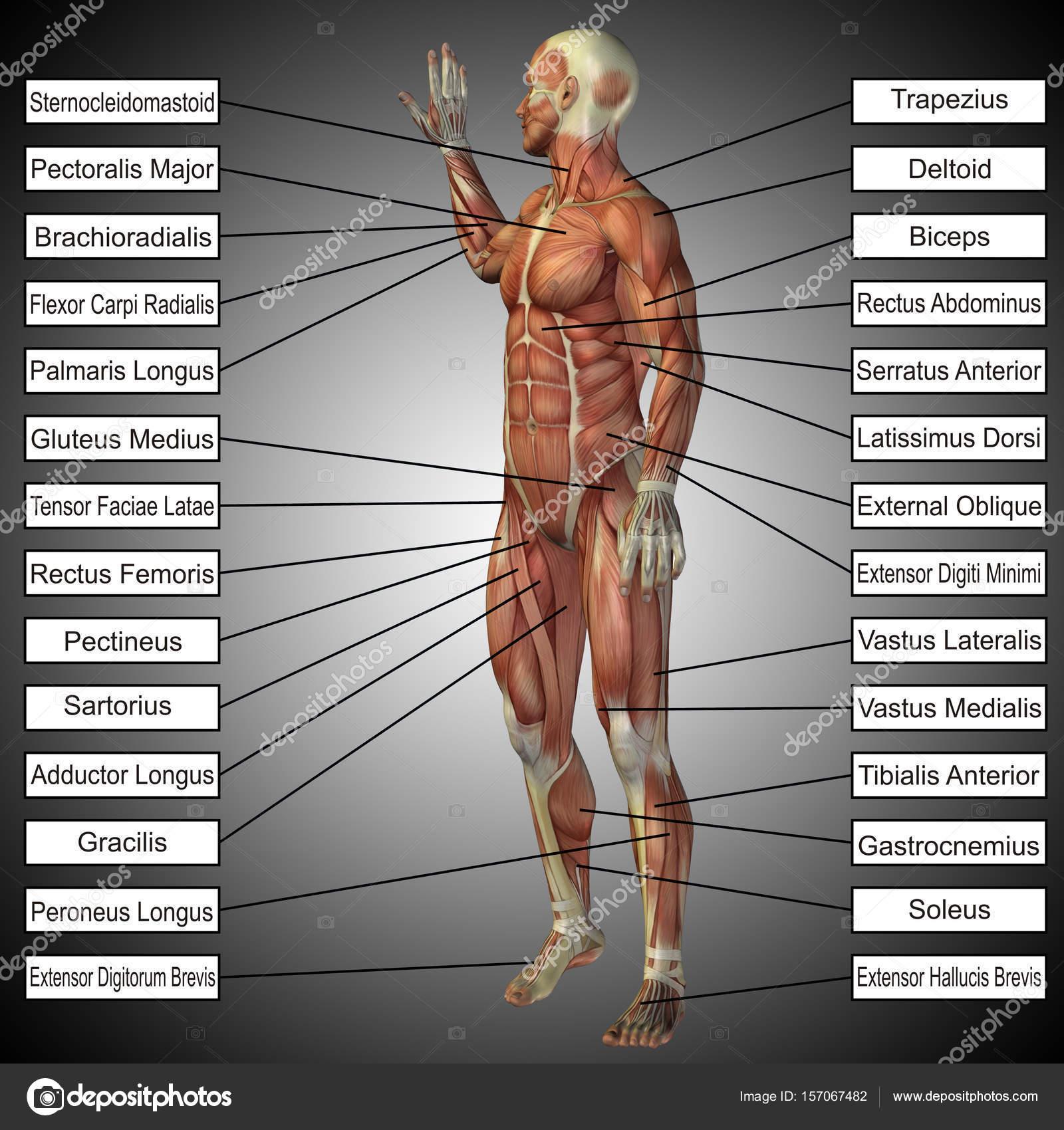 maqueta de anatomía humana — Fotos de Stock © design36 #157067482