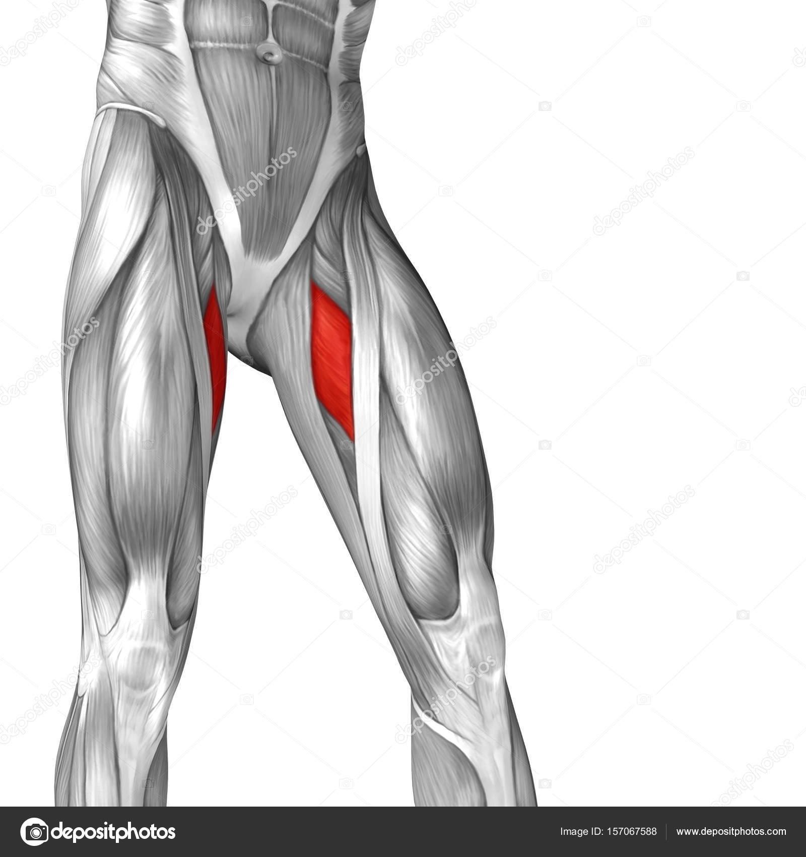 human upper legs anatomy — Stock Photo © design36 #157067588
