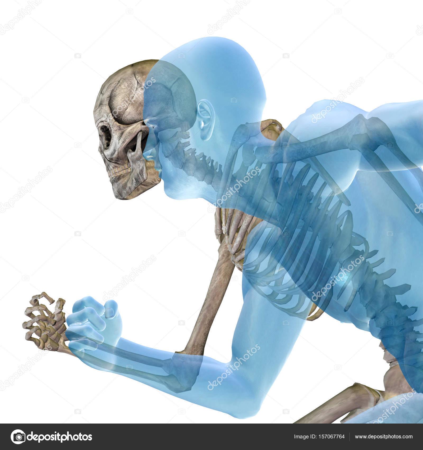Menschliches Skelett Anatomie — Stockfoto © design36 #157067764
