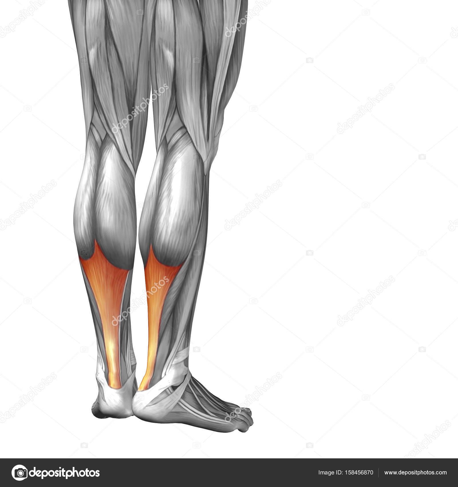 Ilustración inferior pierna anatomía — Fotos de Stock © design36 ...