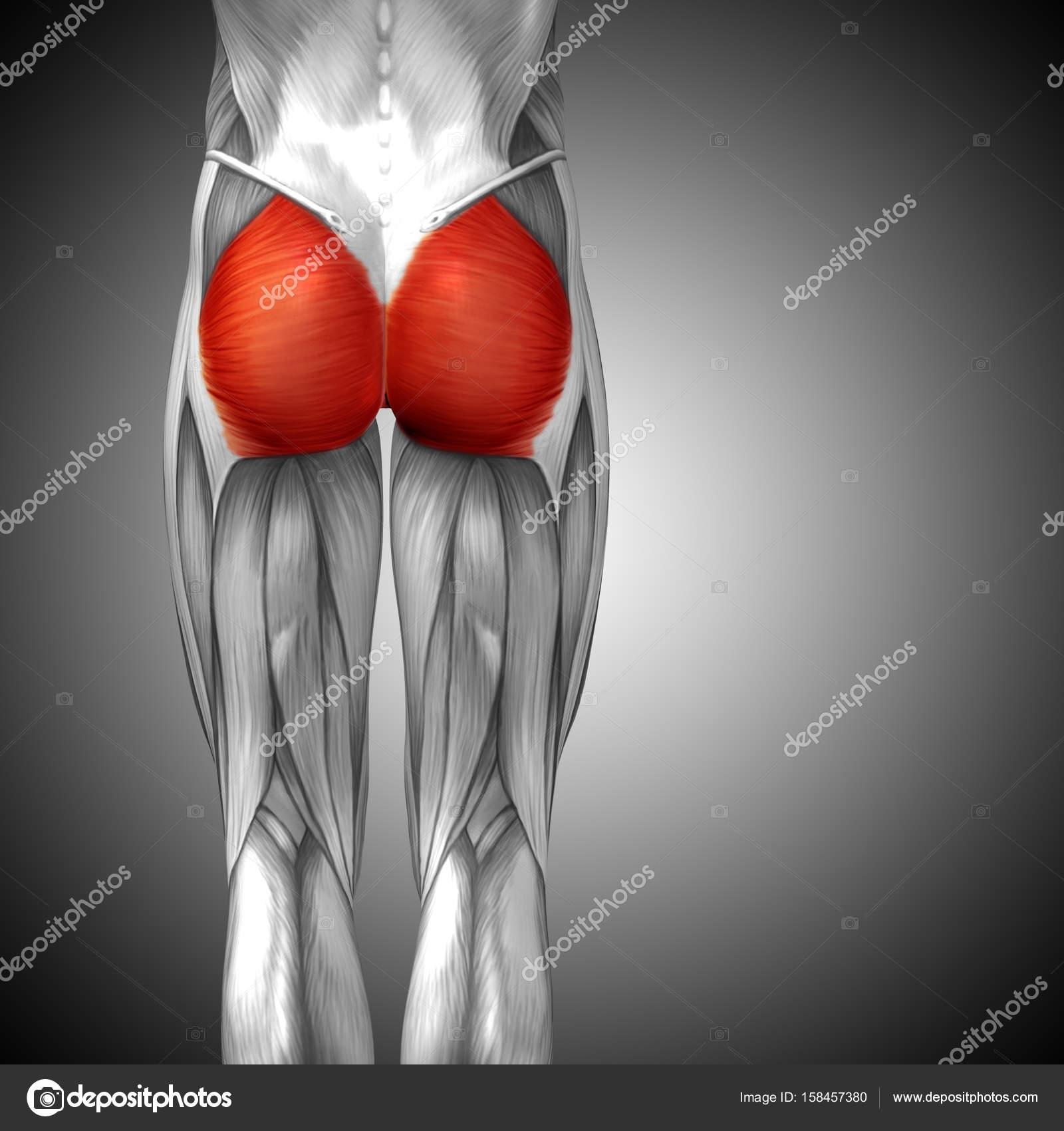 anatomía humana de la pierna superior de ilustración — Foto de stock ...