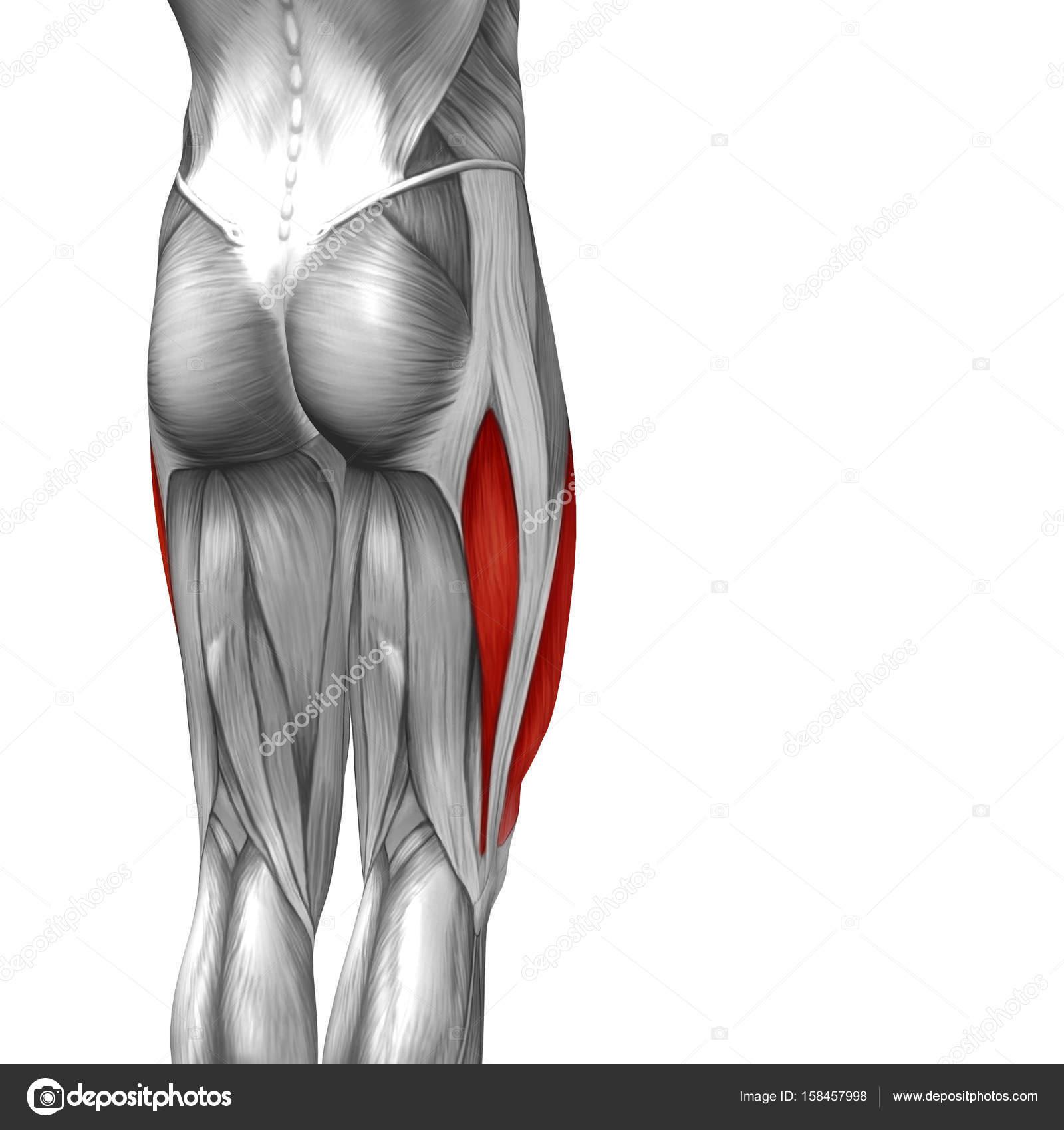 anatomía humana de la pierna superior de ilustración — Fotos de ...