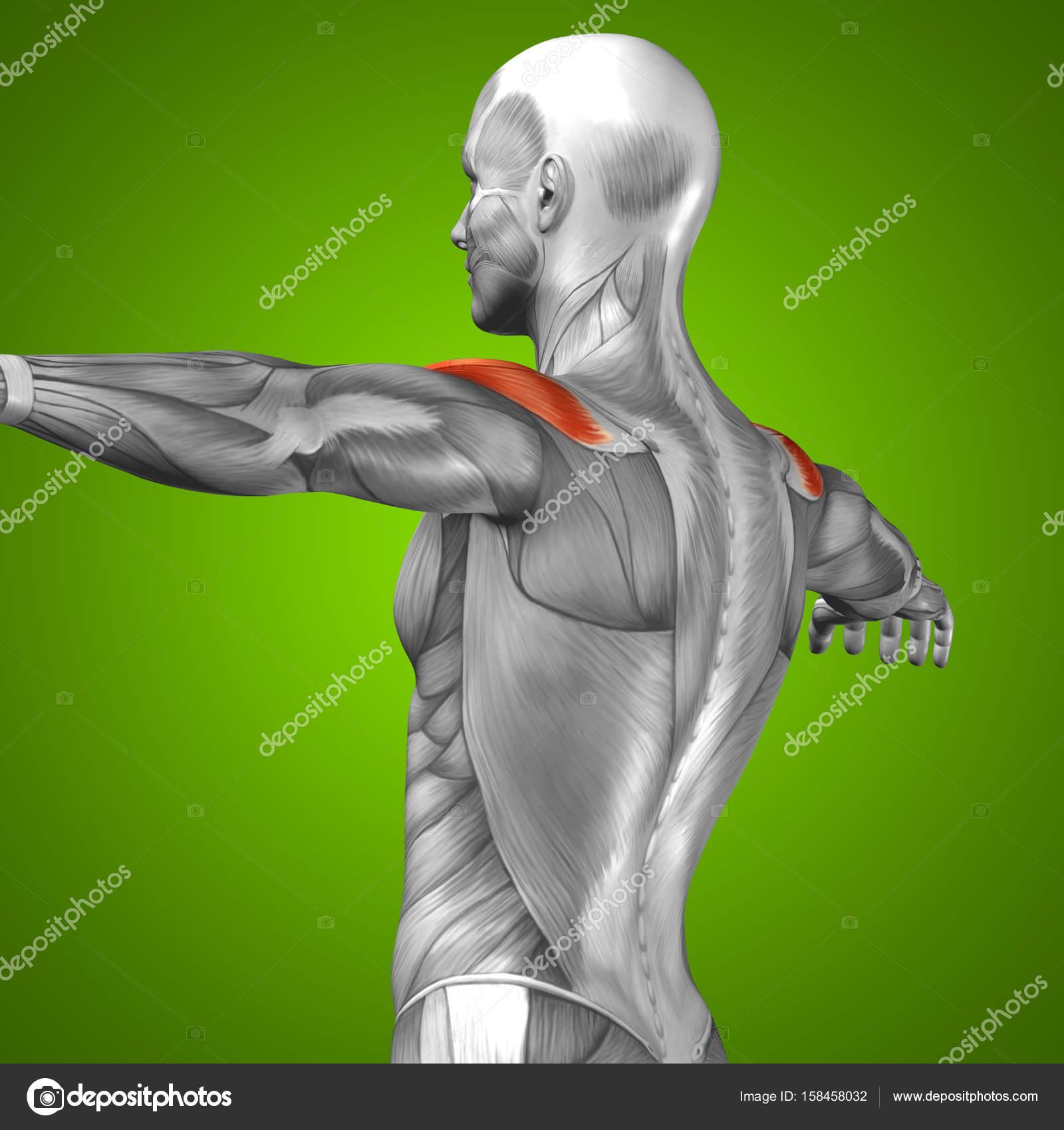 Bauch menschliche Anatomie — Stockfoto © design36 #158458032