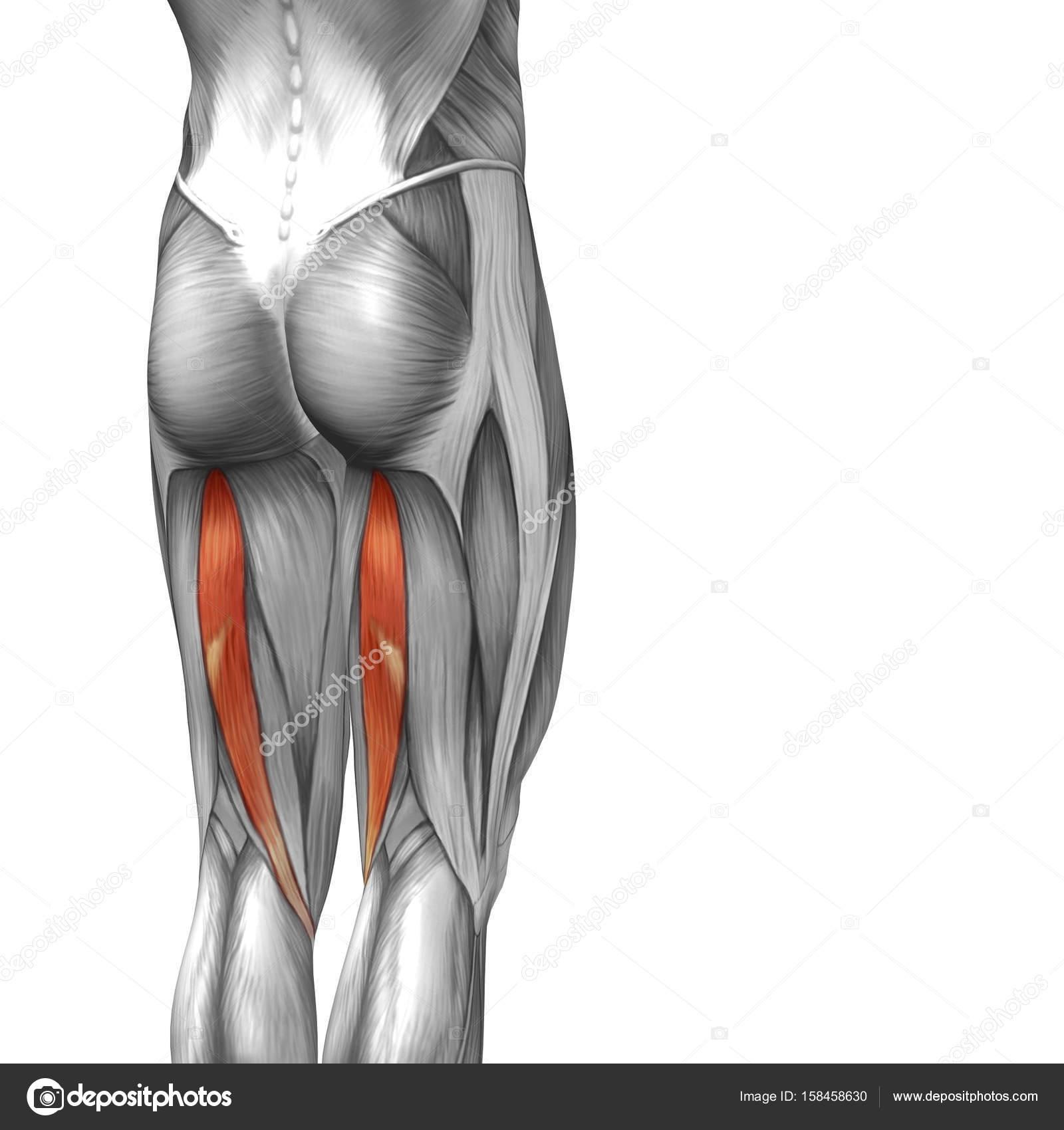 illustration human upper leg anatomy — Stock Photo © design36 #158458630