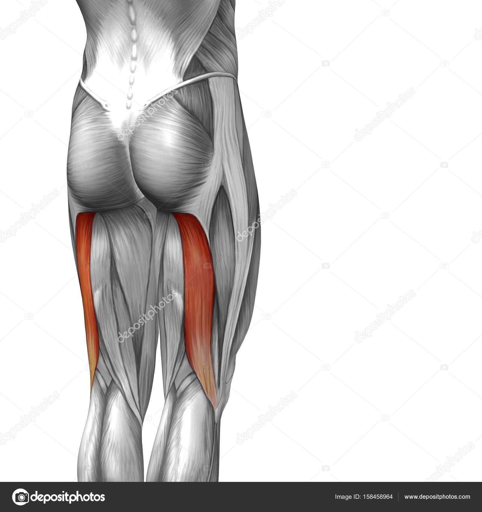 Wunderbar Muskeln Oberschenkel Anatomie Fotos - Menschliche Anatomie ...