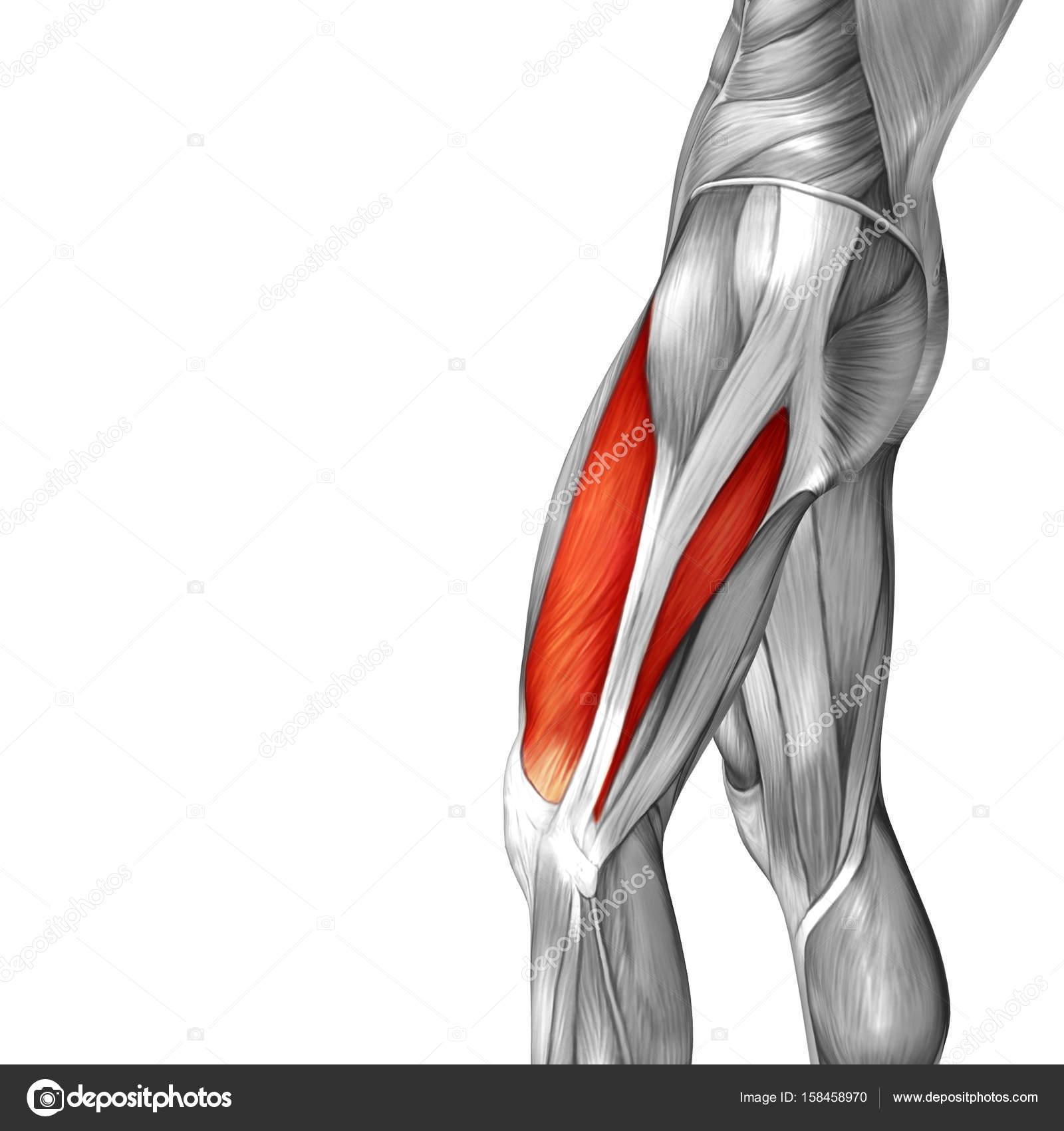 Abbildung menschlicher Oberschenkel-Anatomie — Stockfoto © design36 ...