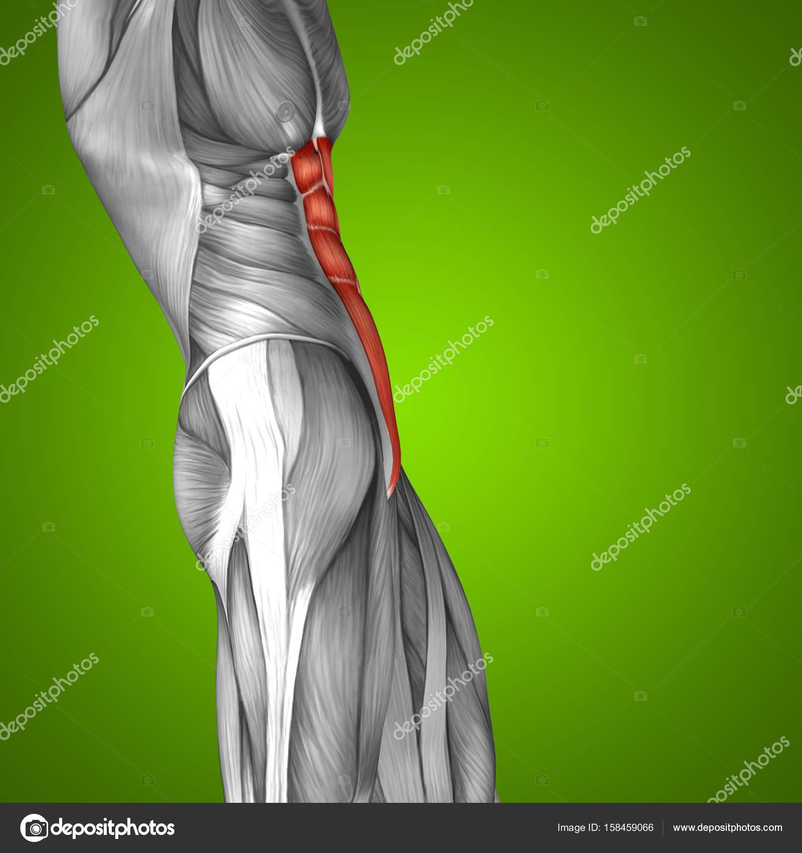 Anatomie der menschlichen Brust — Stockfoto © design36 #158459066