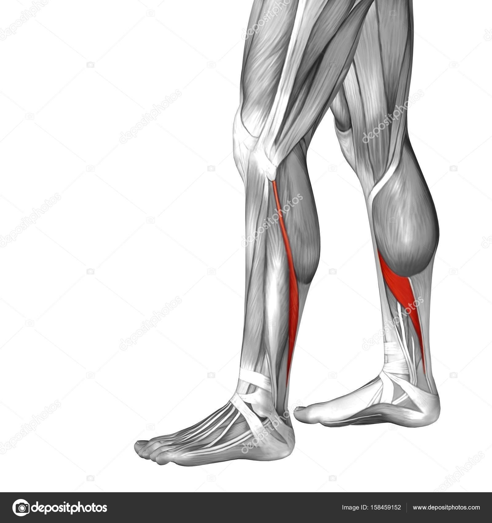 Ilustración inferior pierna anatomía — Foto de stock © design36 ...