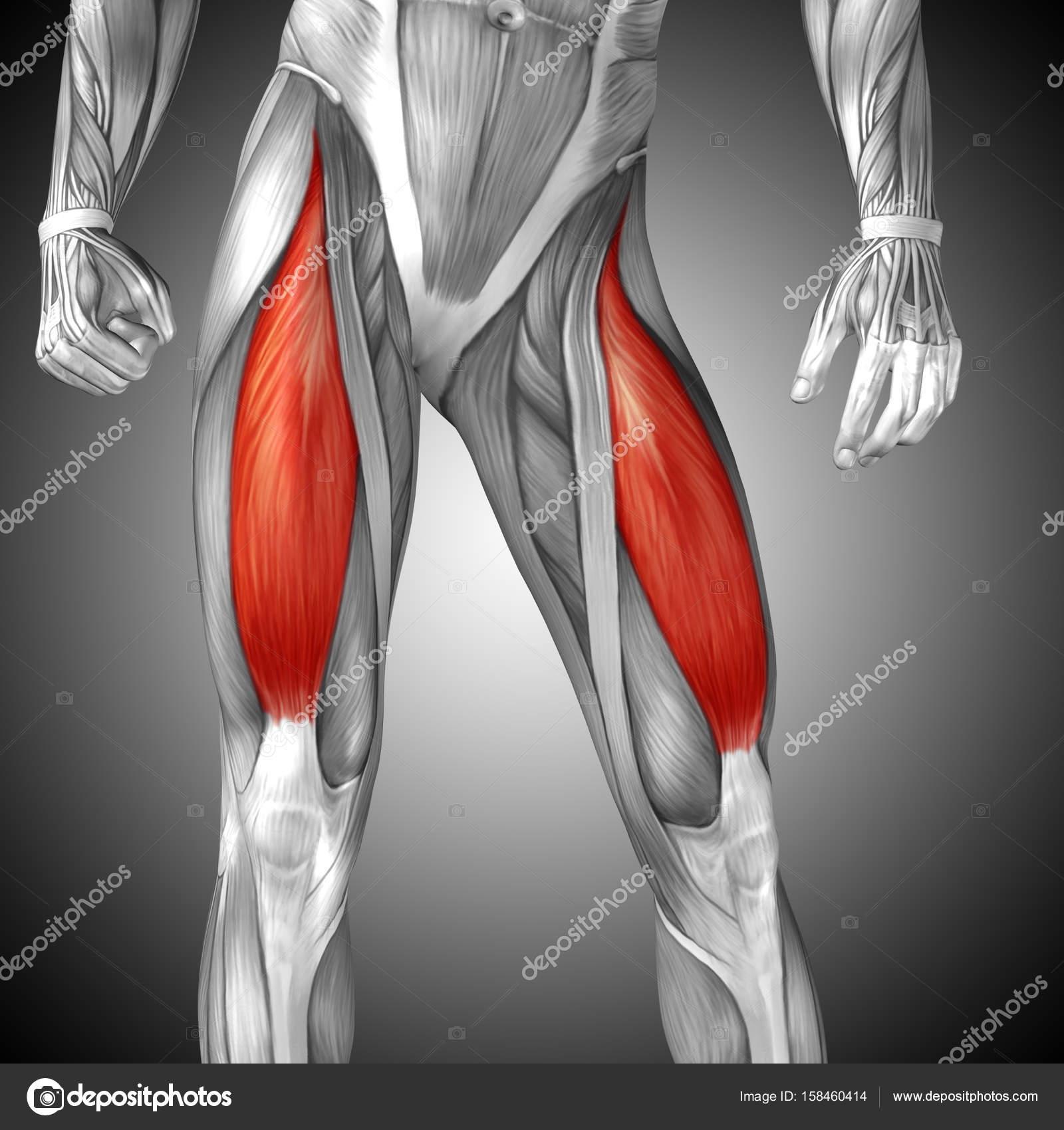 illustration human upper leg anatomy — Stock Photo © design36 #158460414