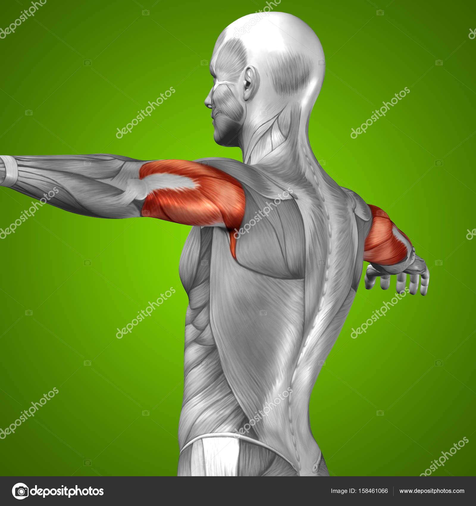 Anatomía del abdomen — Foto de stock © design36 #158461066