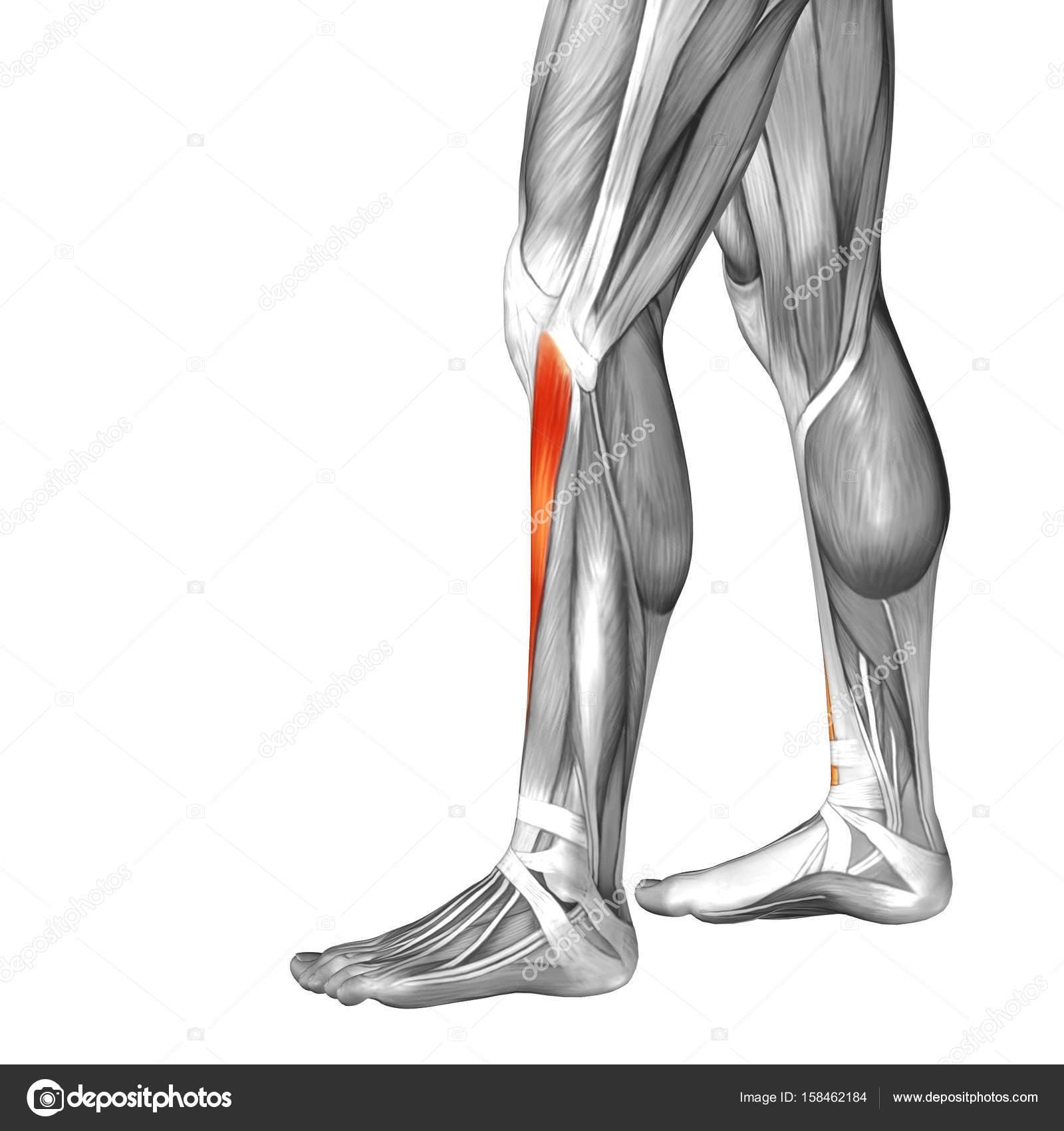 Abbildung untere Bein Anatomie des Menschen — Stockfoto © design36 ...