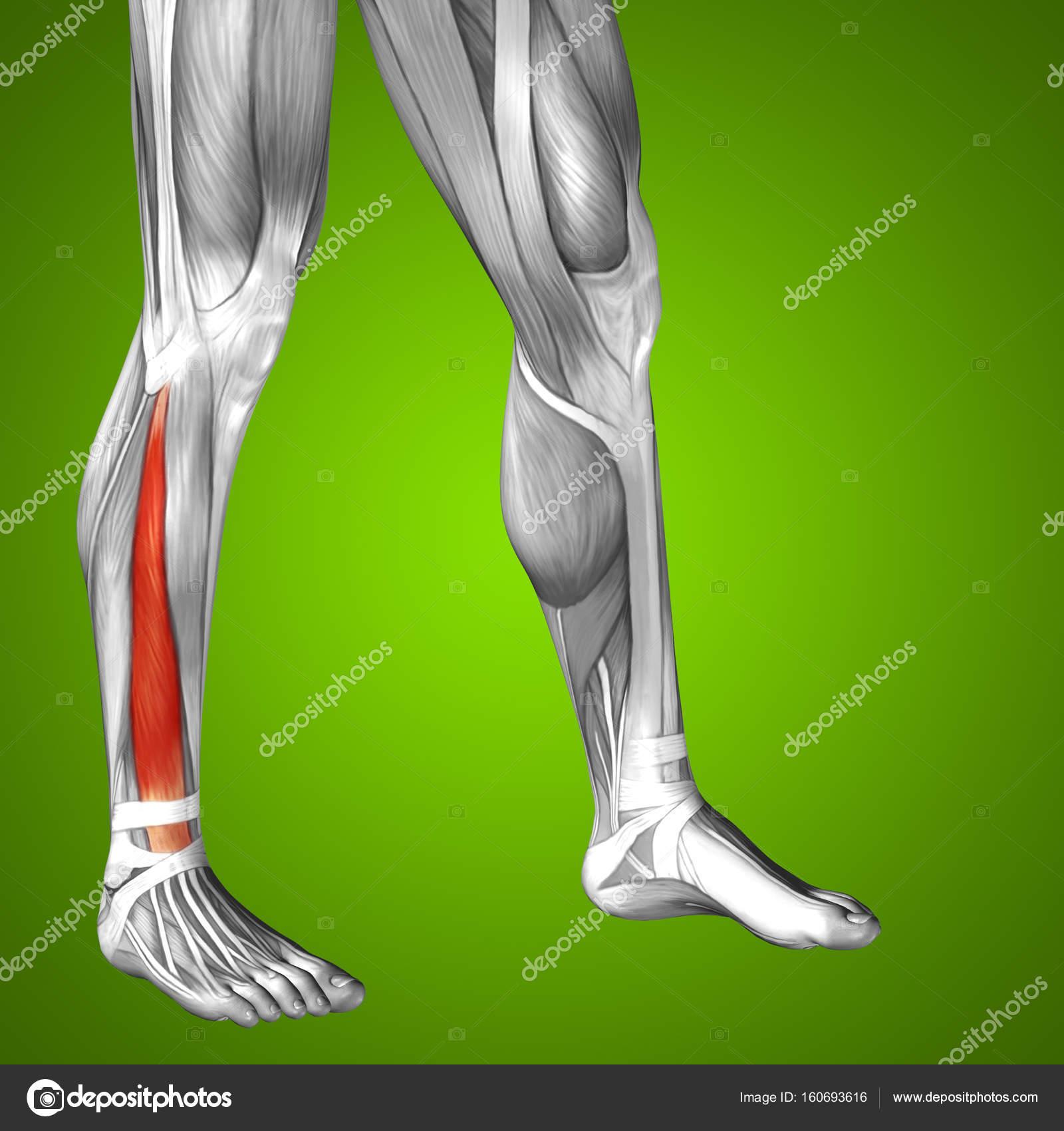 untere Bein Anatomie — Stockfoto © design36 #160693616