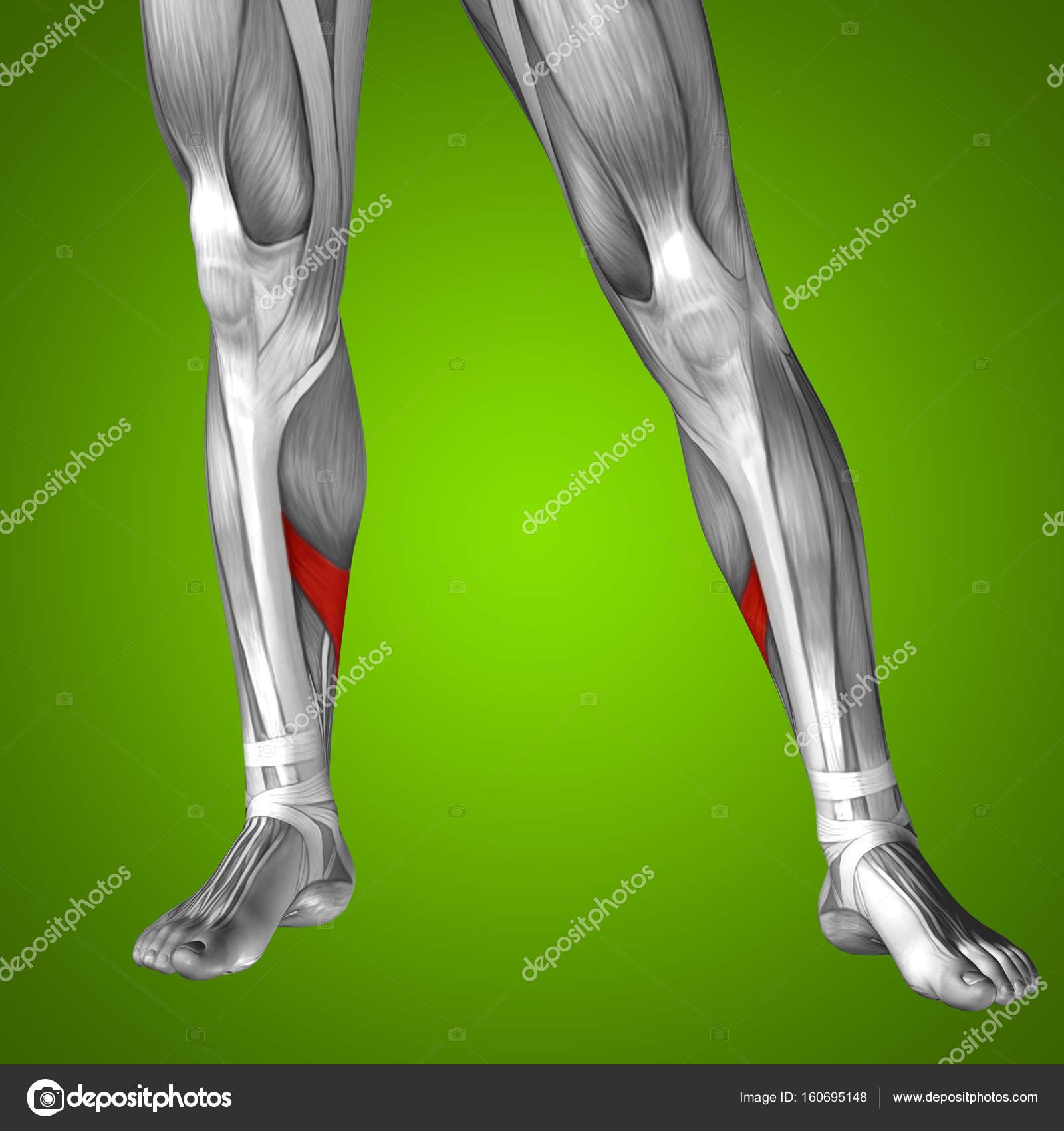 untere Bein Anatomie — Stockfoto © design36 #160695148