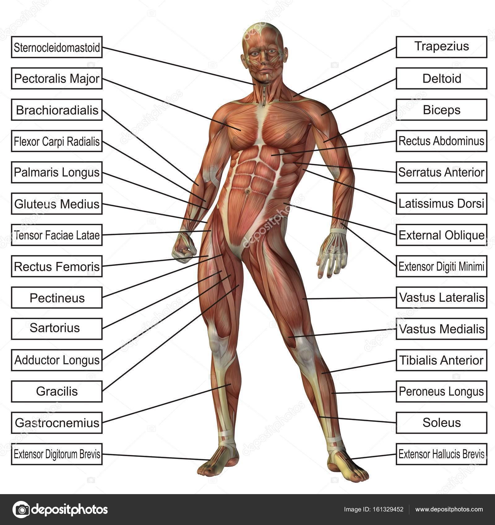 menschliche Anatomie Abbildung — Stockfoto © design36 #161329452