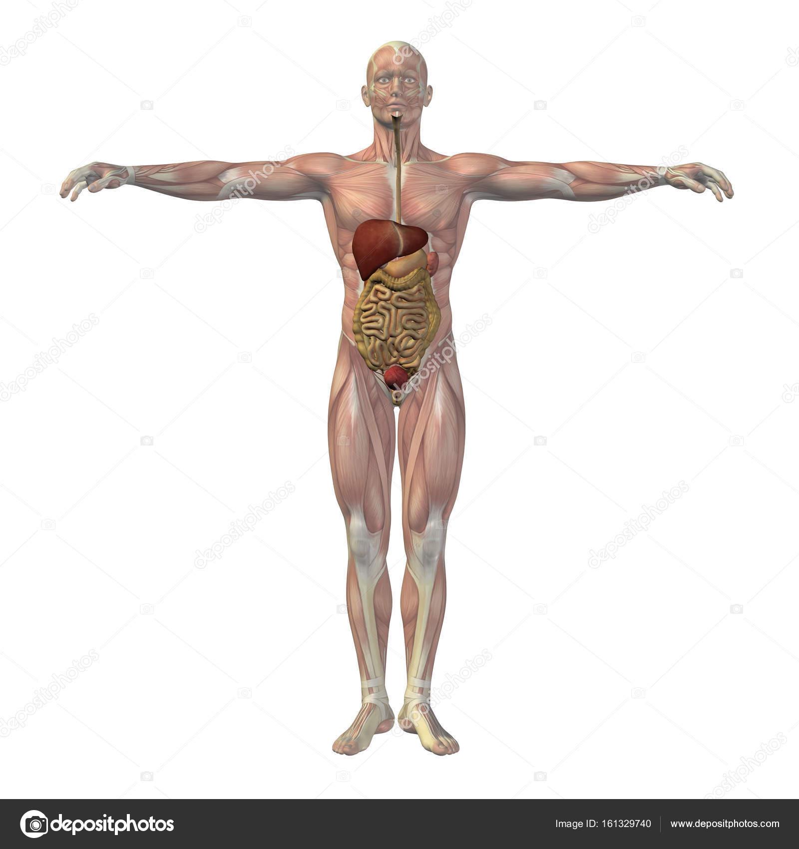menschliche Anatomie Abbildung — Stockfoto © design36 #161329740