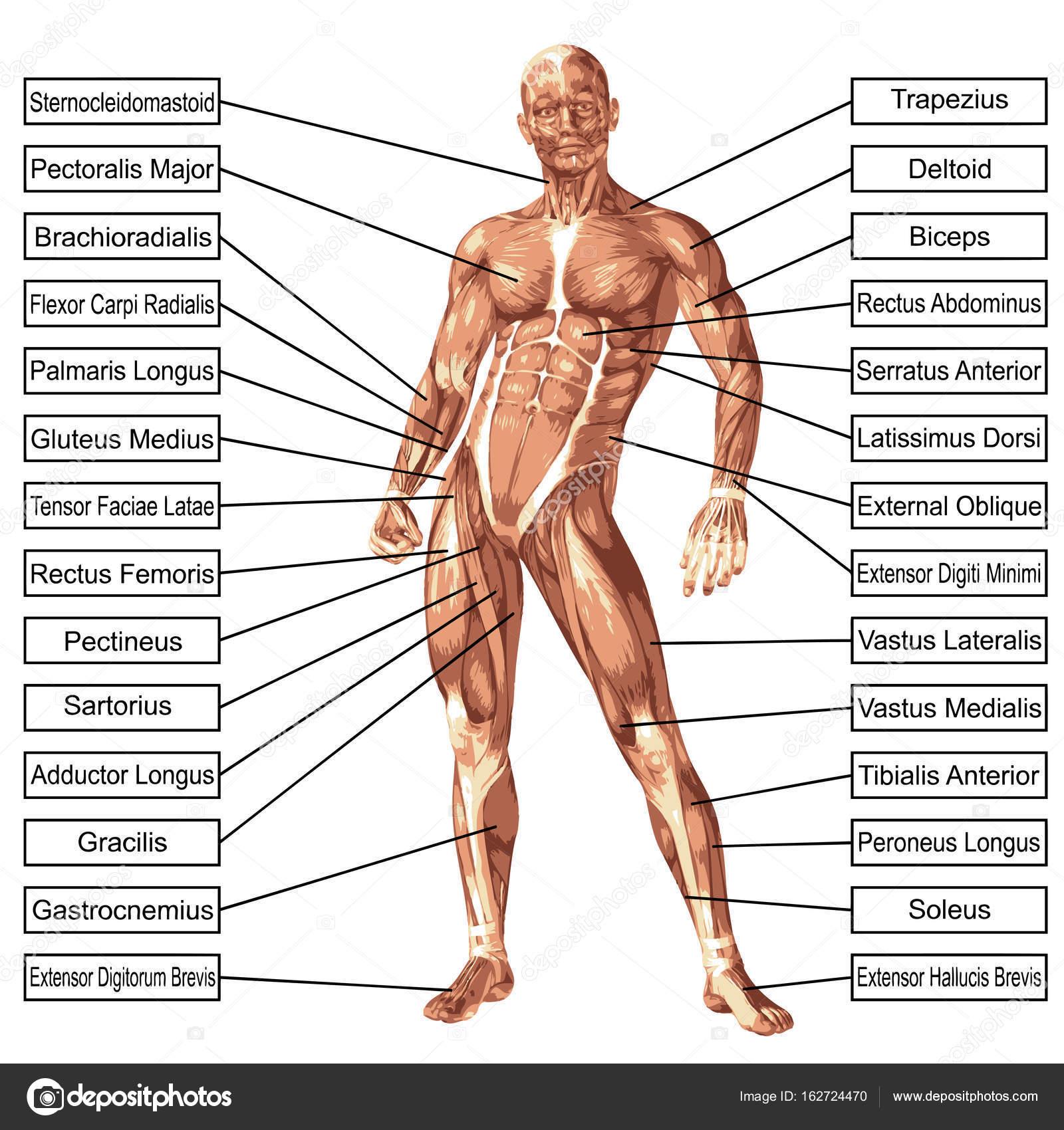 illustratie van de menselijke anatomie — Stockfoto © design36 #162724470