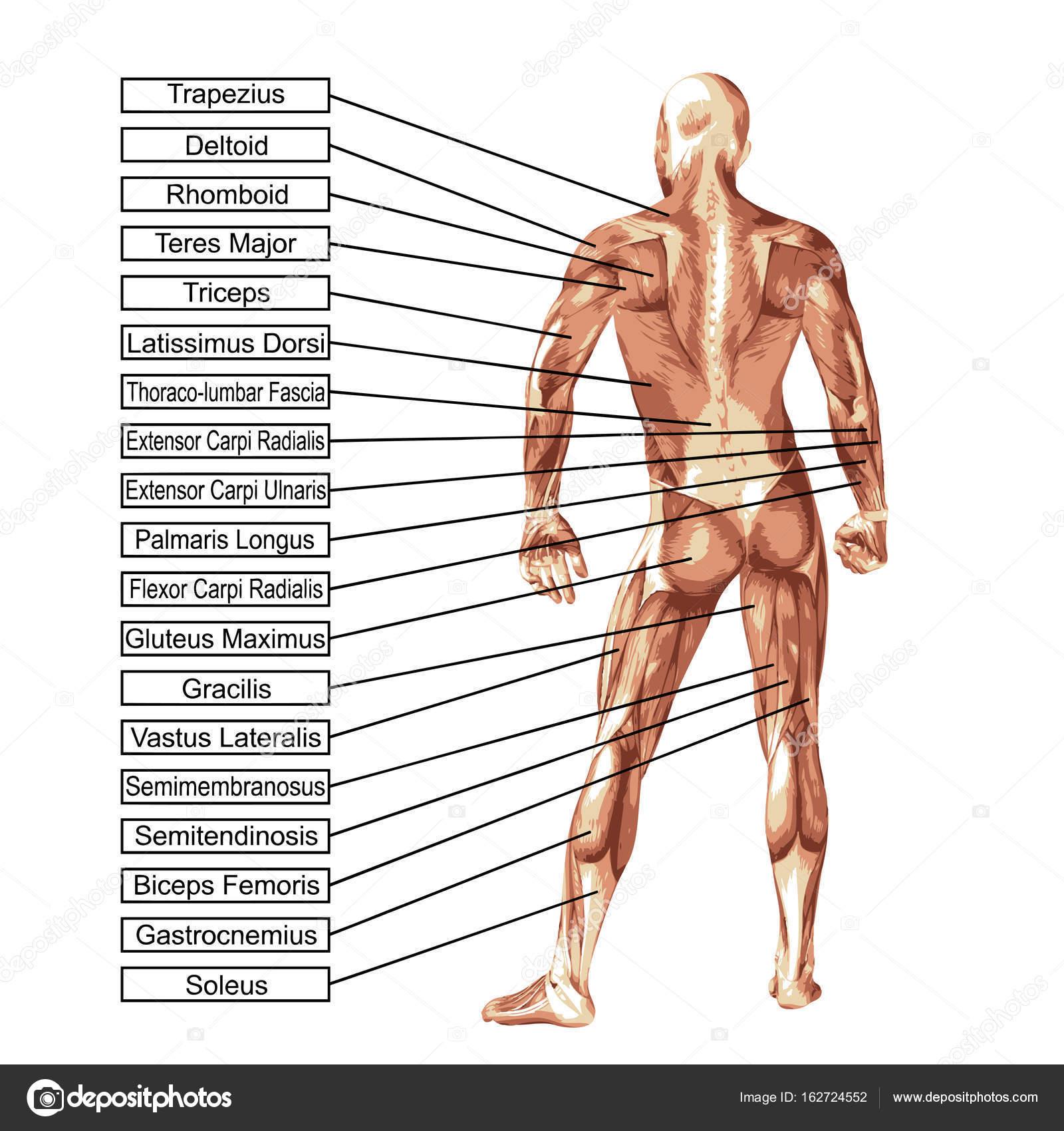 menschliche Anatomie Abbildung — Stockfoto © design36 #162724552