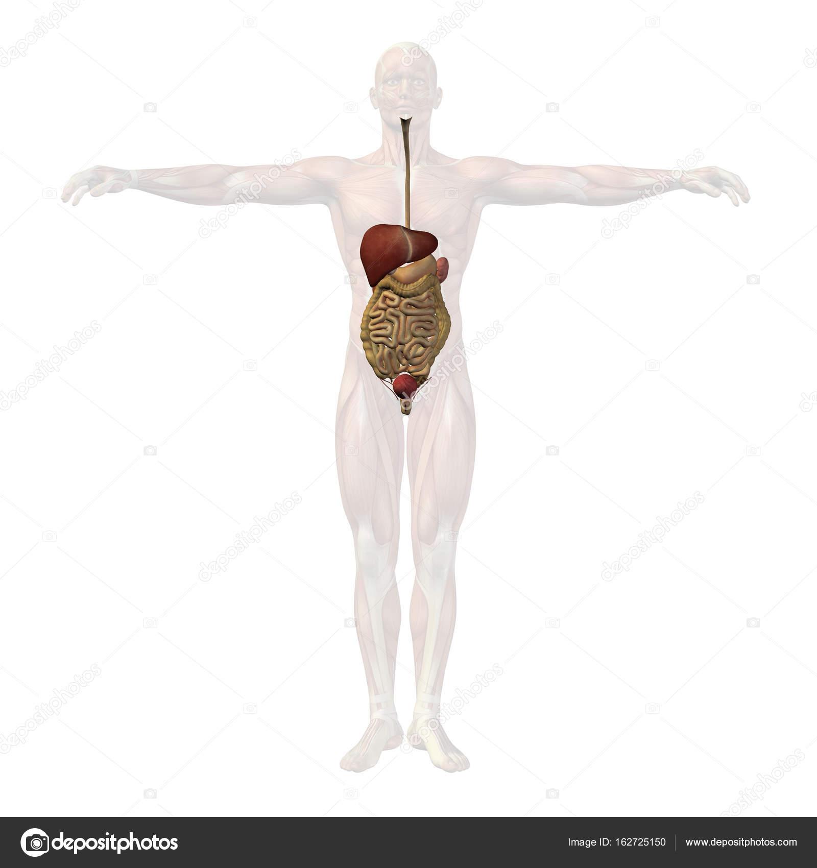 Human Anatomy Illustration Stock Photo Design36 162725150
