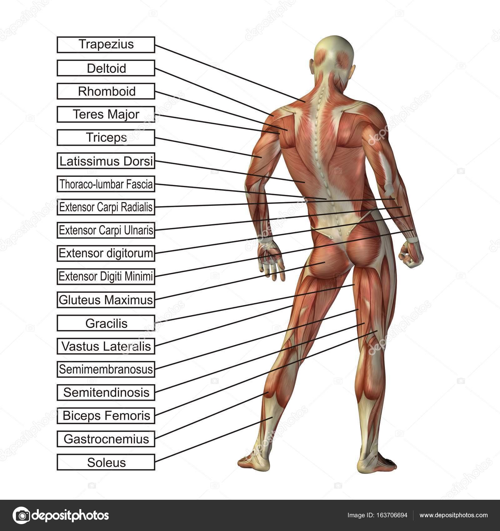 3D Abbildung des menschlichen Körpers — Stockfoto © design36 #163706694